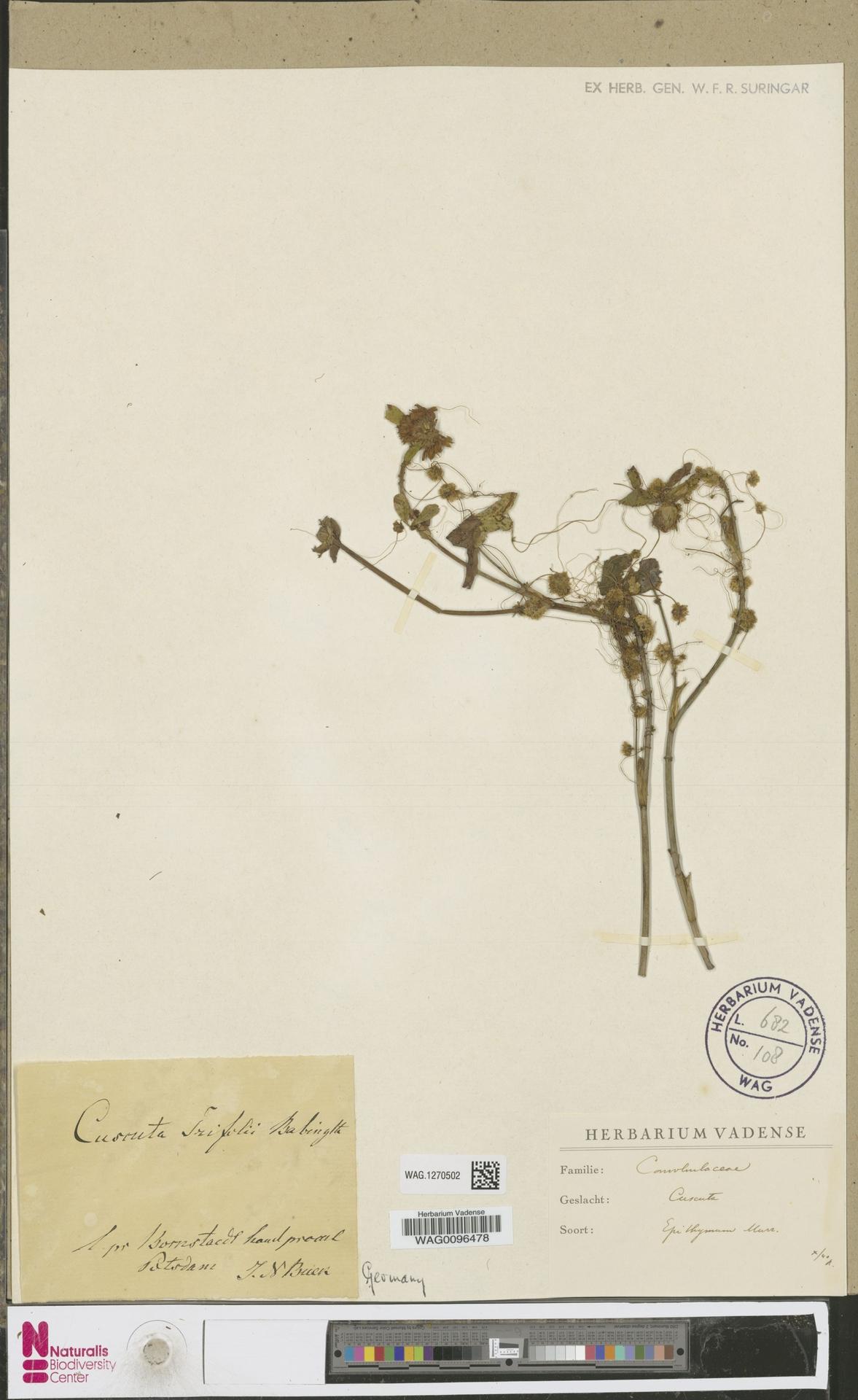 WAG.1270502   Cuscuta epithymum (L.) L.
