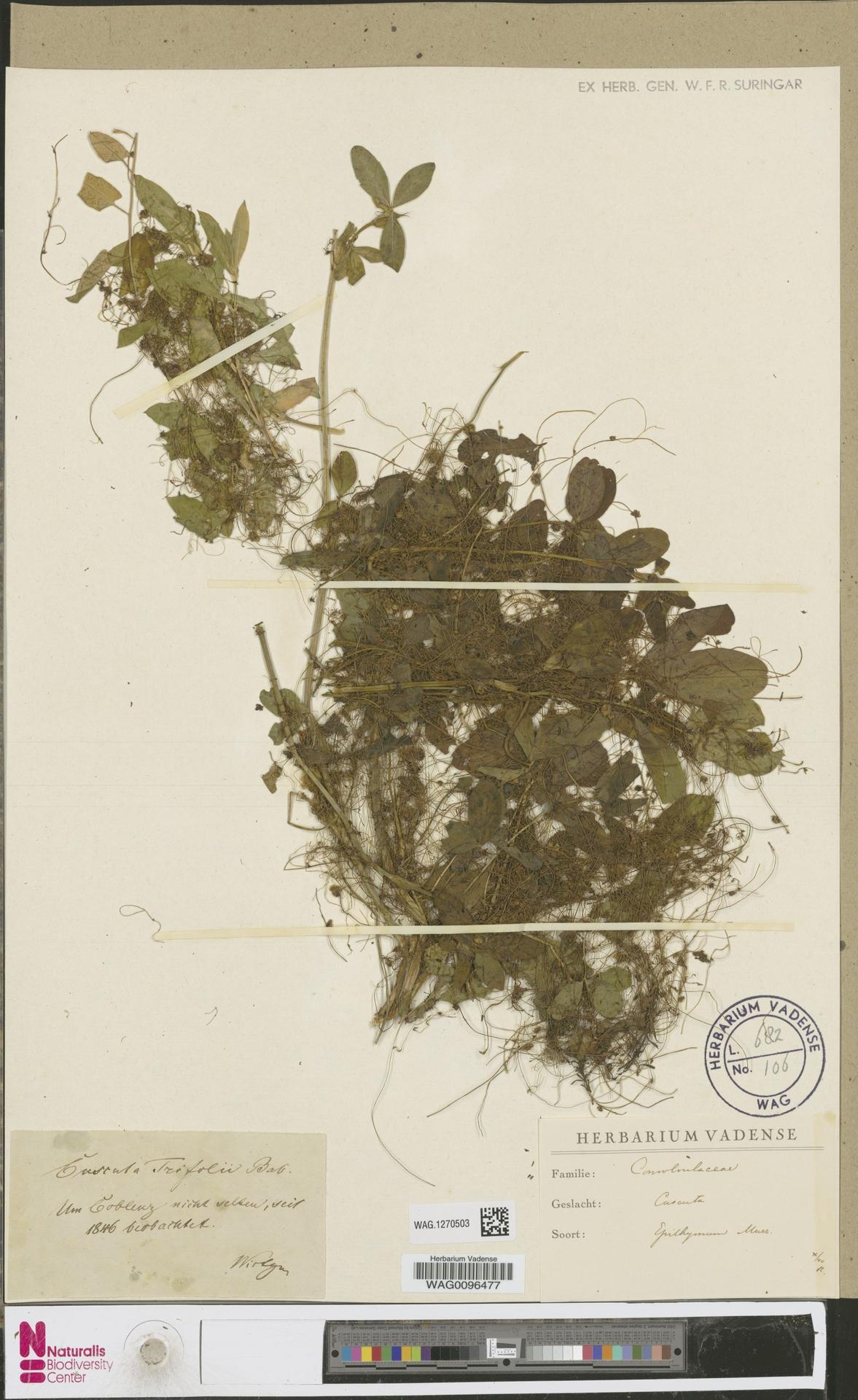 WAG.1270503 | Cuscuta epithymum (L.) L.