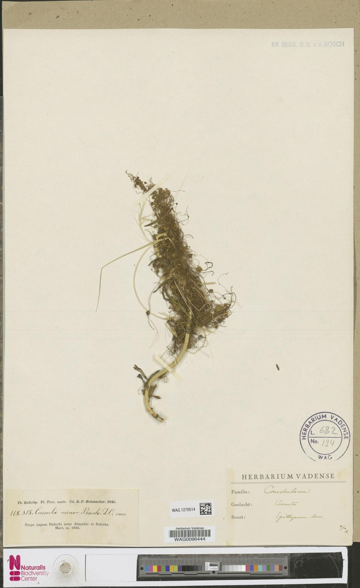 WAG.1270514 | Cuscuta epithymum (L.) L.