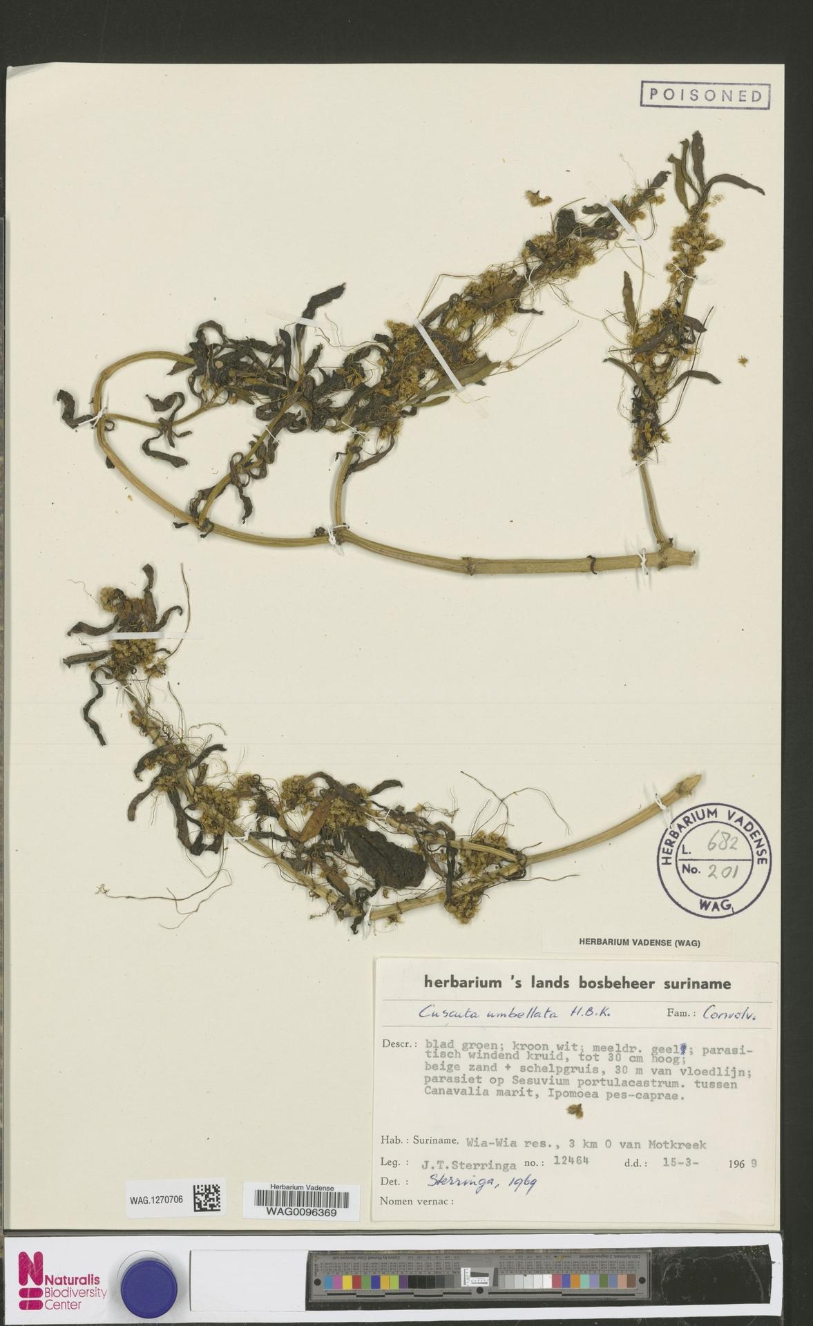 WAG.1270706 | Cuscuta umbellata Humb., Bonpl. & Kunth