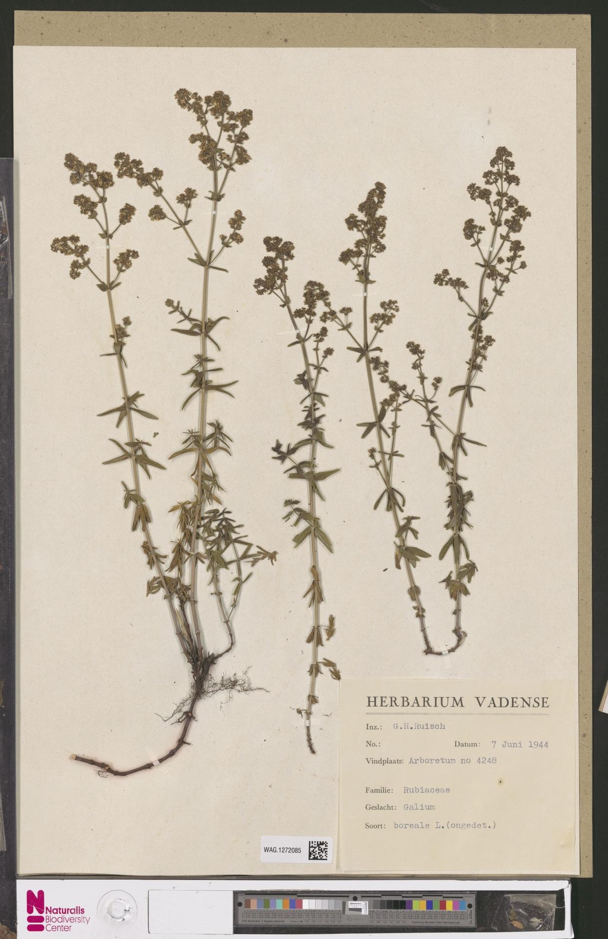WAG.1272085 | Galium boreale L.