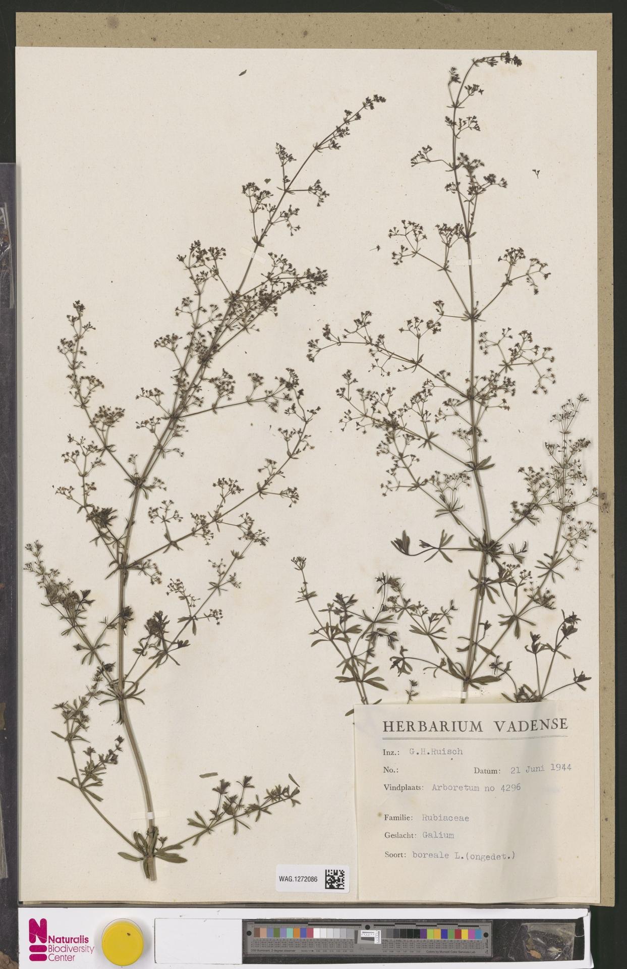 WAG.1272086 | Galium boreale L.