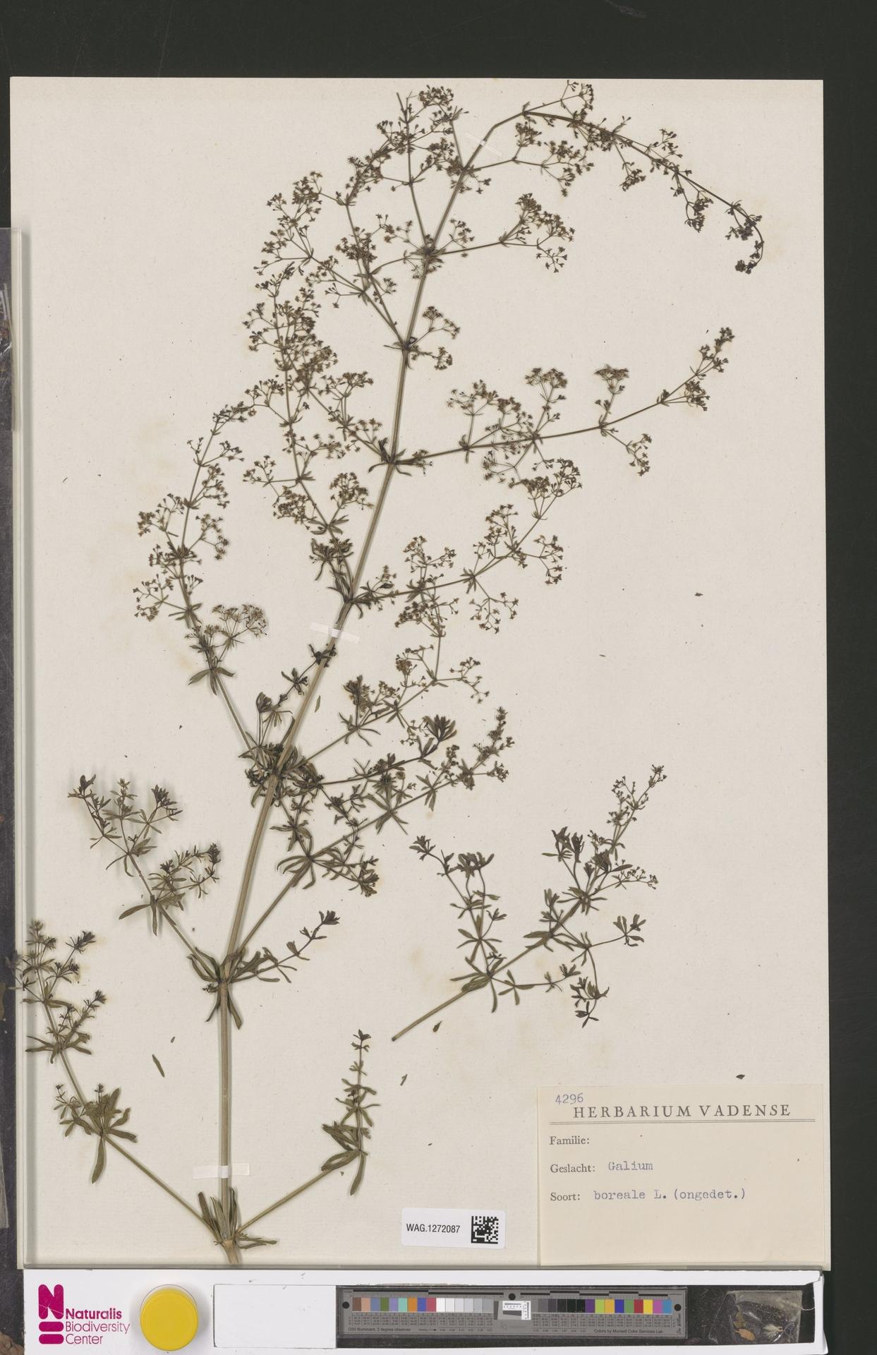 WAG.1272087 | Galium boreale L.