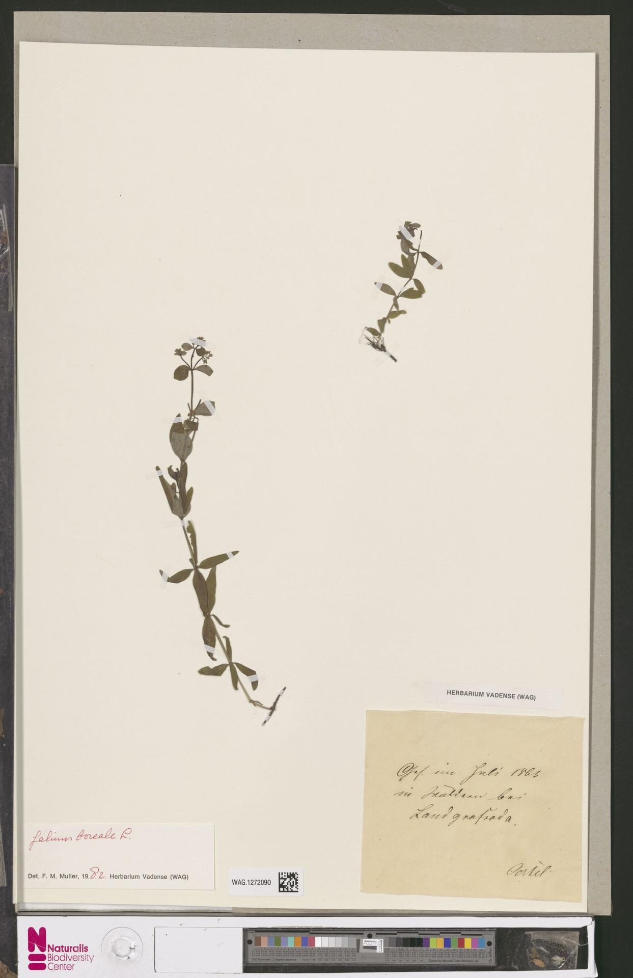 WAG.1272090 | Galium boreale L.