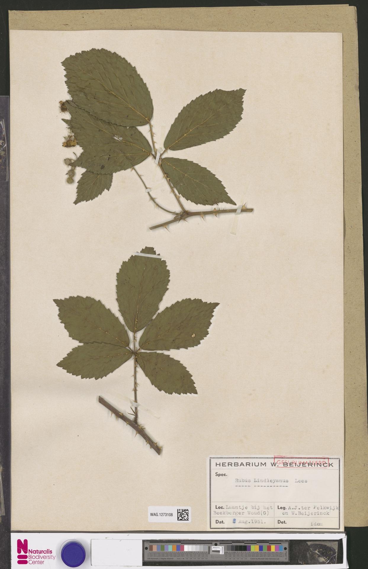 WAG.1273108   Rubus lindleianus Lees