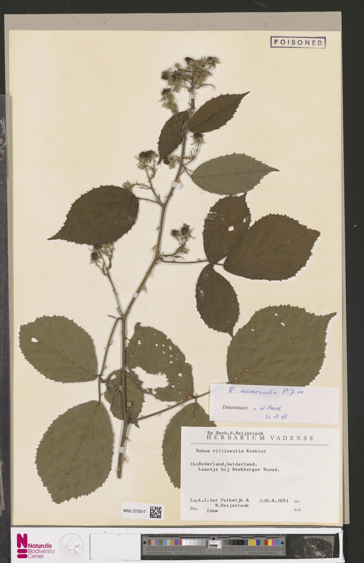 WAG.1273517 | Rubus nemoralis P.J.Müll.