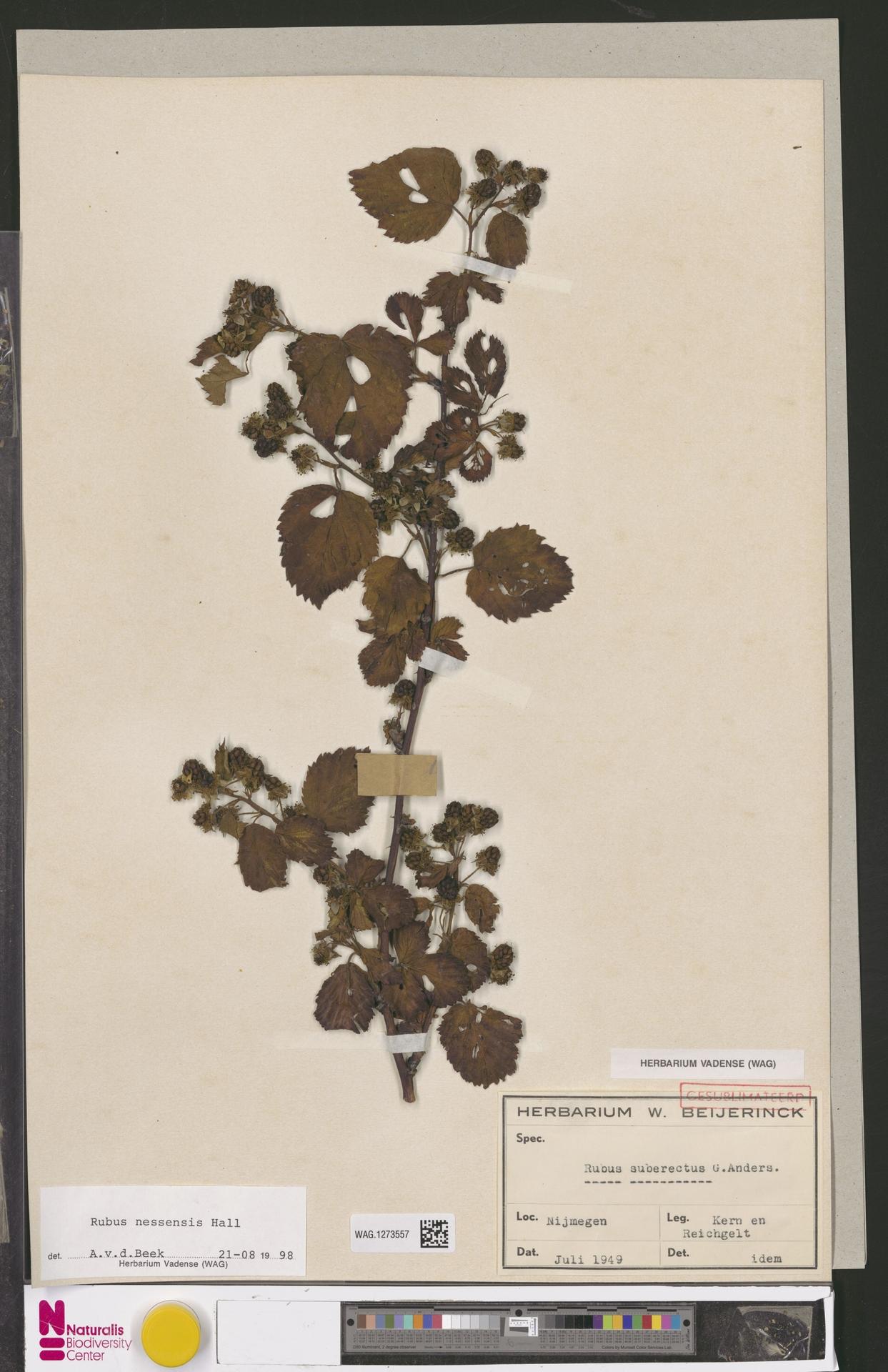 WAG.1273557   Rubus nessensis Hall