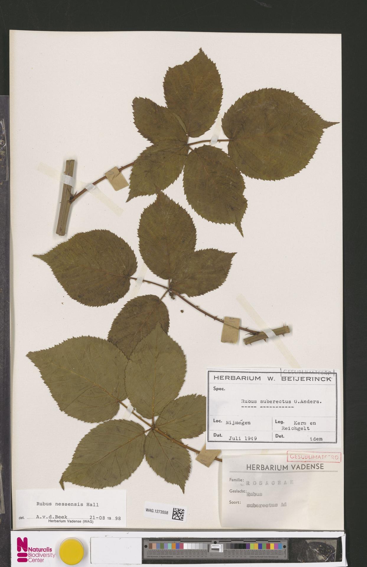 WAG.1273558 | Rubus nessensis Hall
