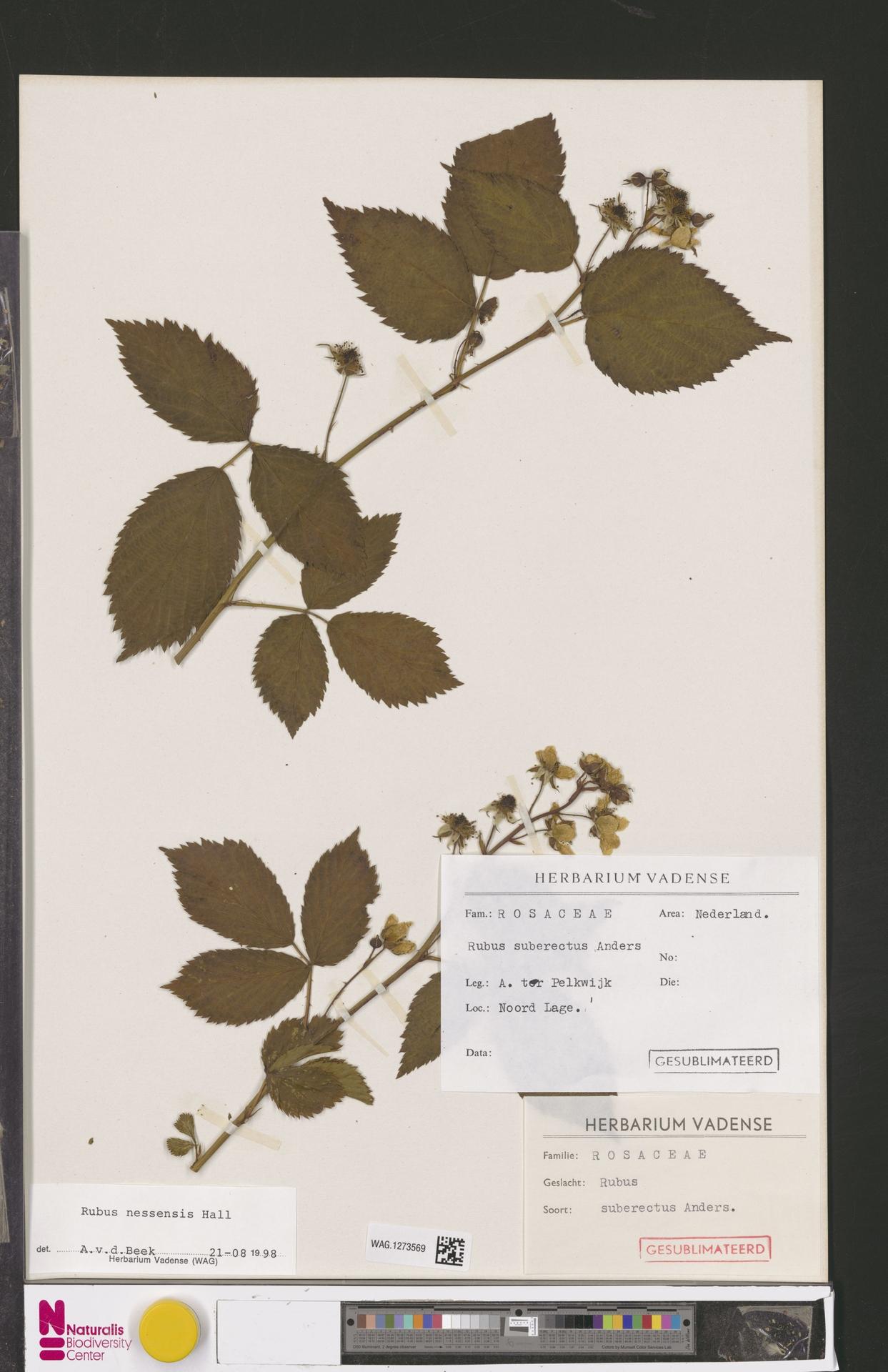 WAG.1273569   Rubus nessensis Hall