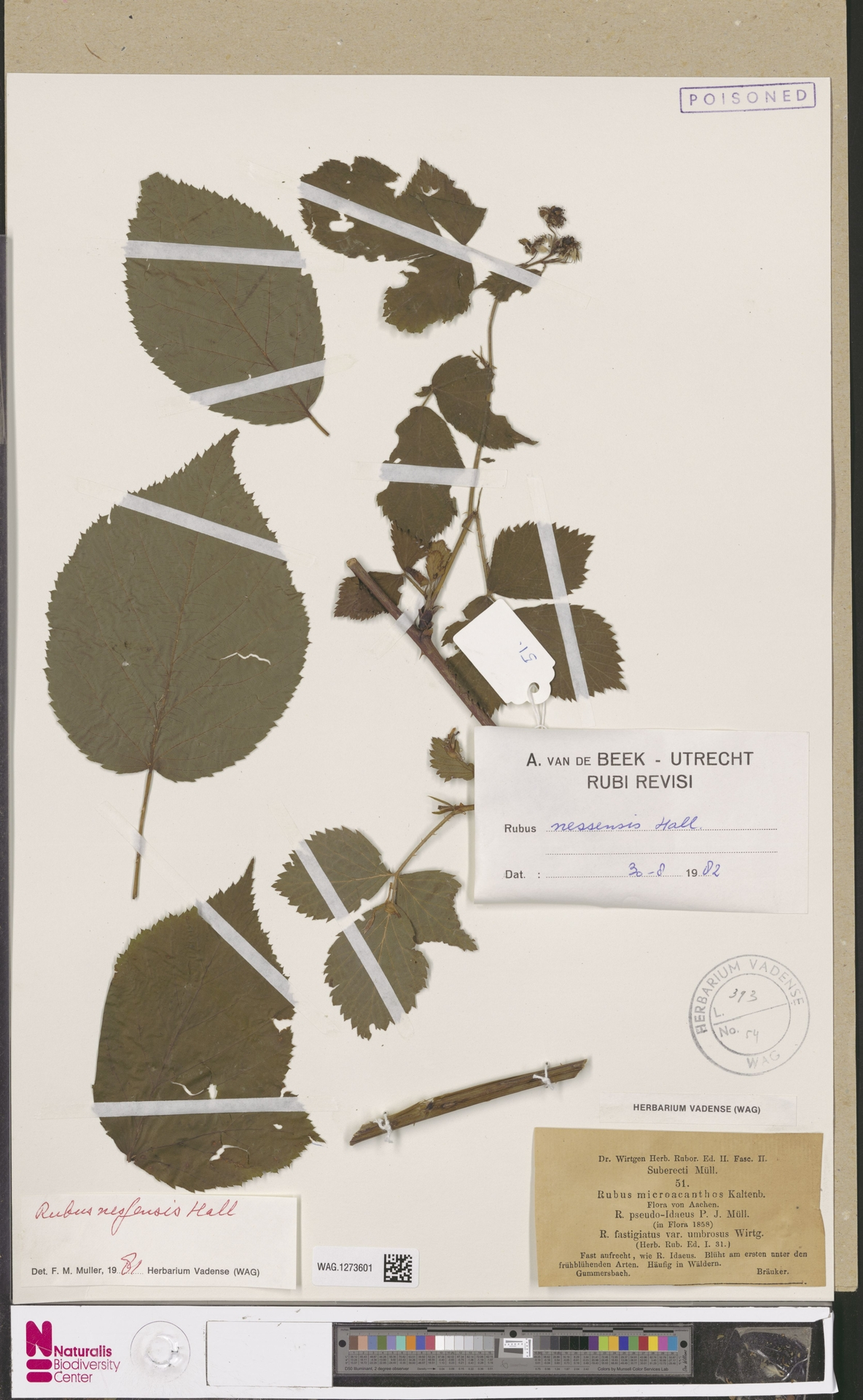 WAG.1273601   Rubus nessensis Hall