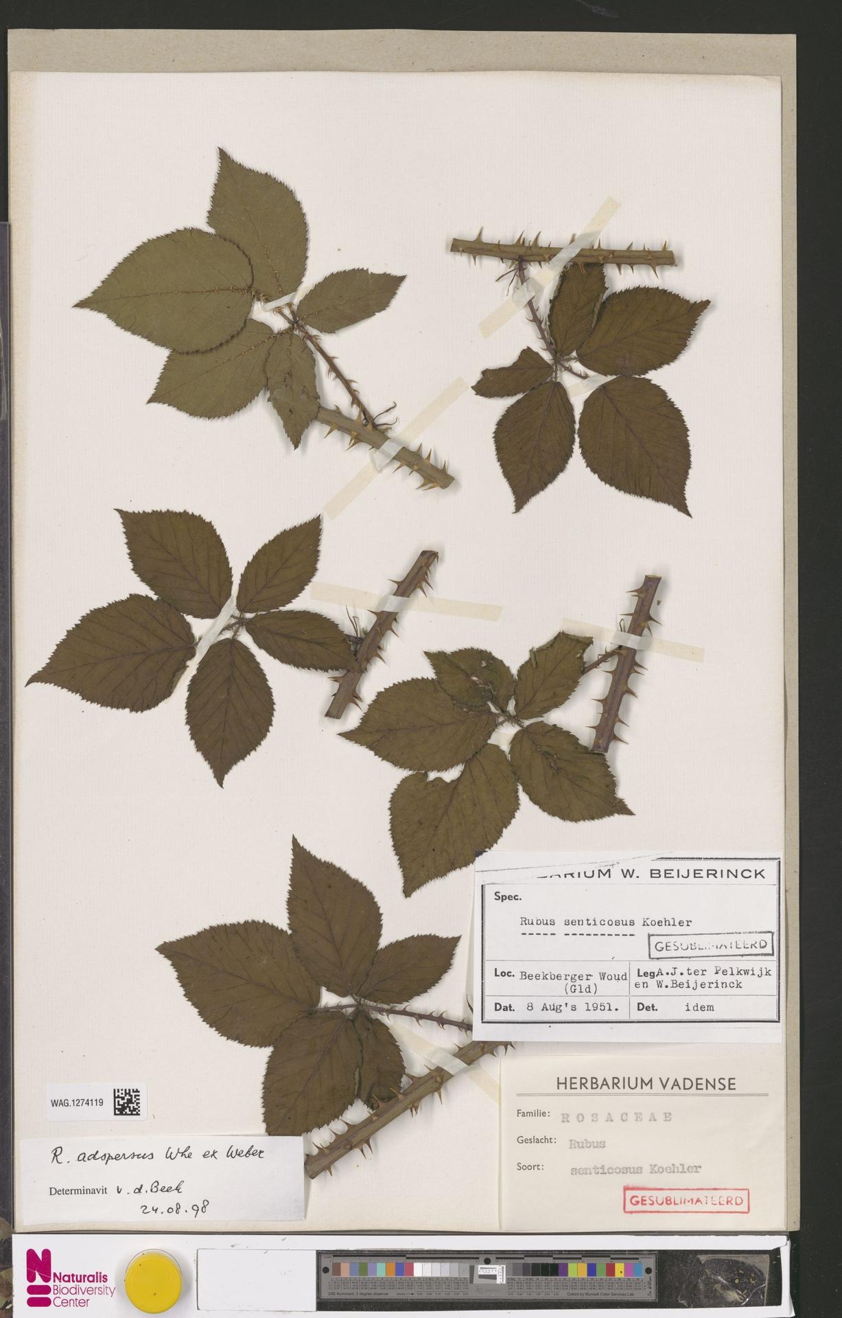 WAG.1274119 | Rubus adspersus Weihe ex H.E.Weber