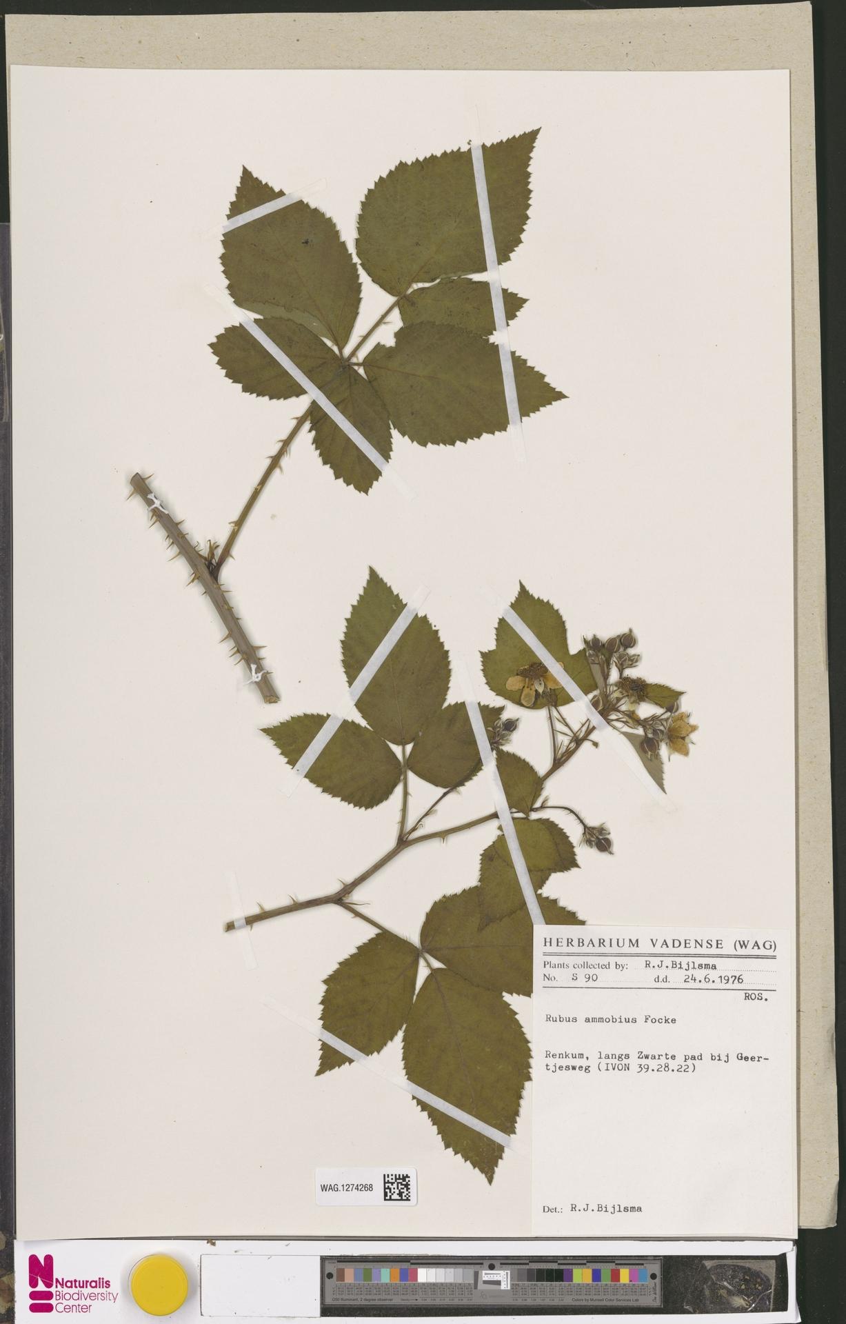 WAG.1274268 | Rubus ammobius Focke