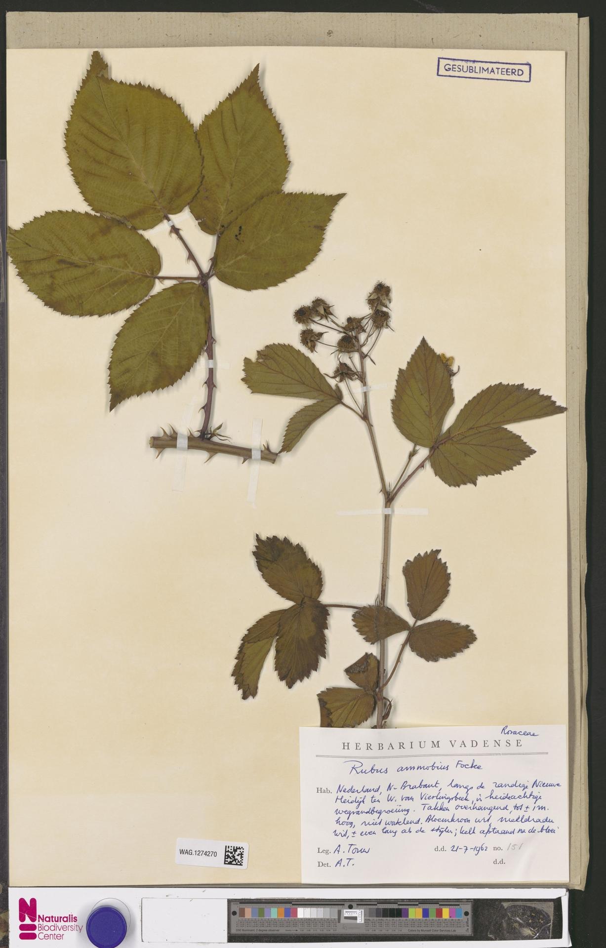 WAG.1274270 | Rubus ammobius Focke