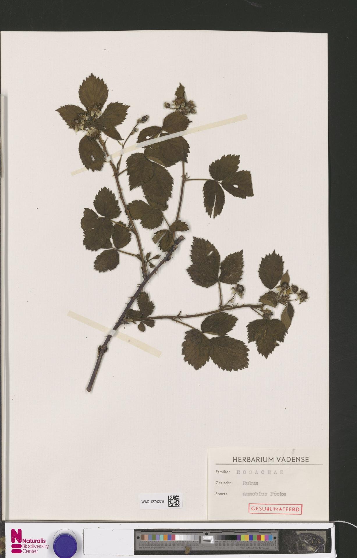 WAG.1274279   Rubus ammobius Focke