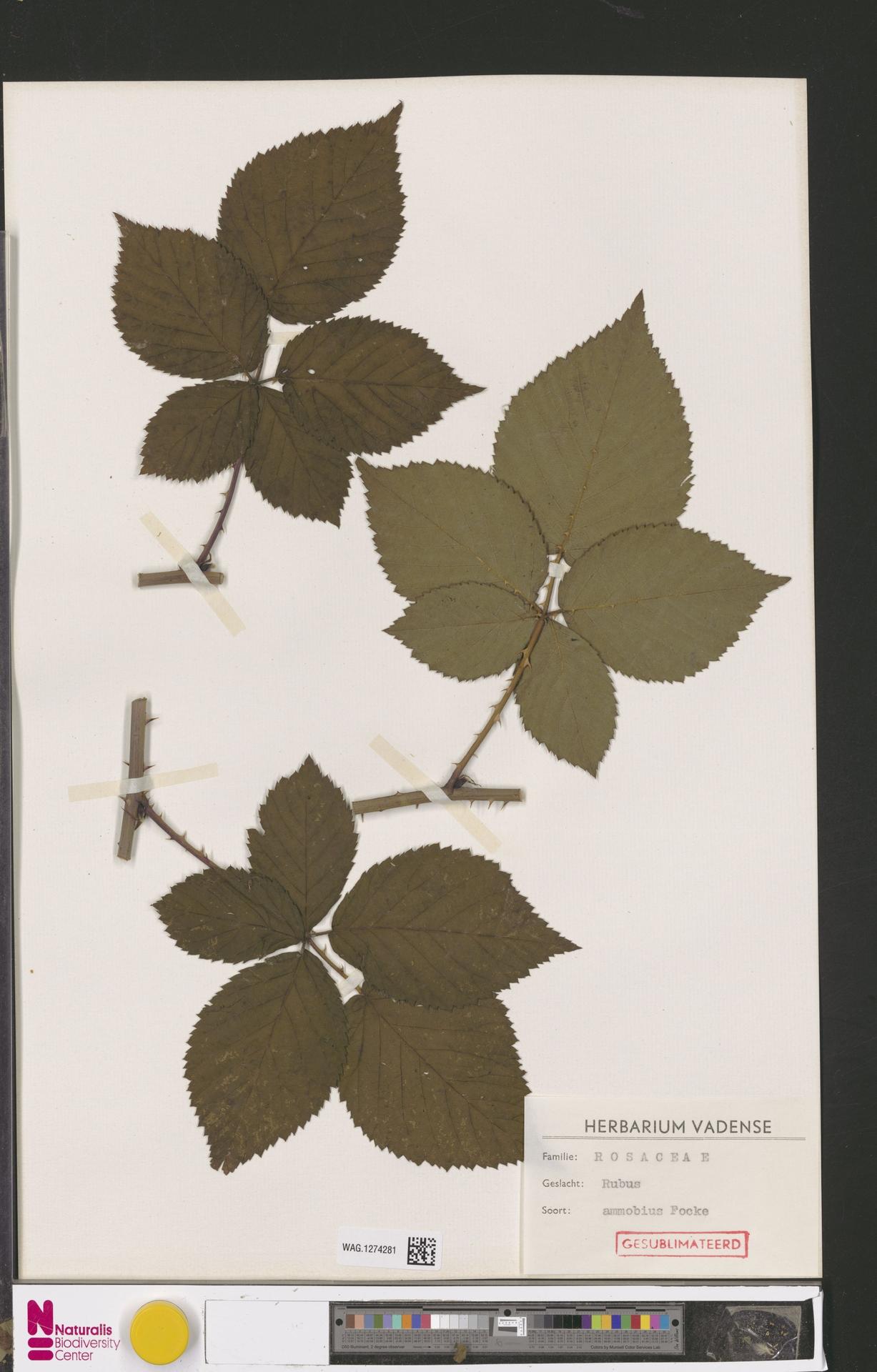 WAG.1274281 | Rubus ammobius Focke