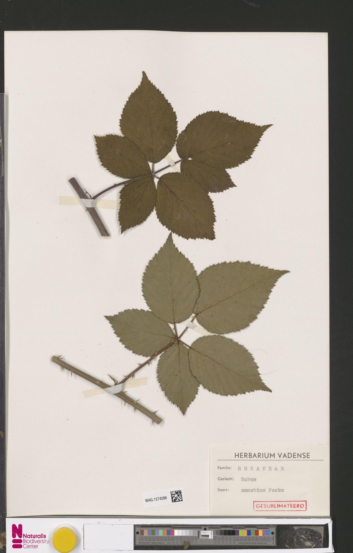 WAG.1274286   Rubus ammobius Focke