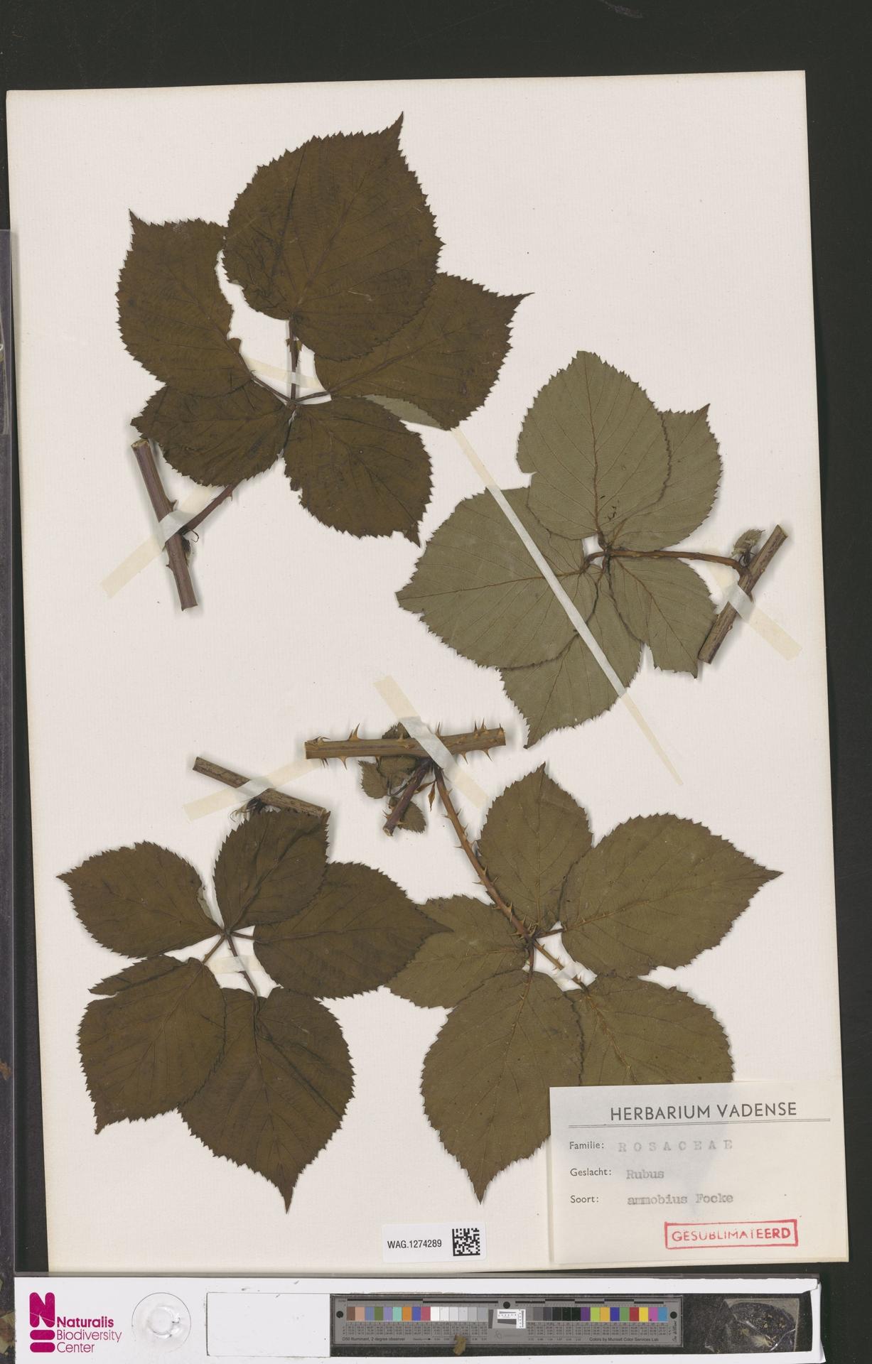 WAG.1274289   Rubus ammobius Focke