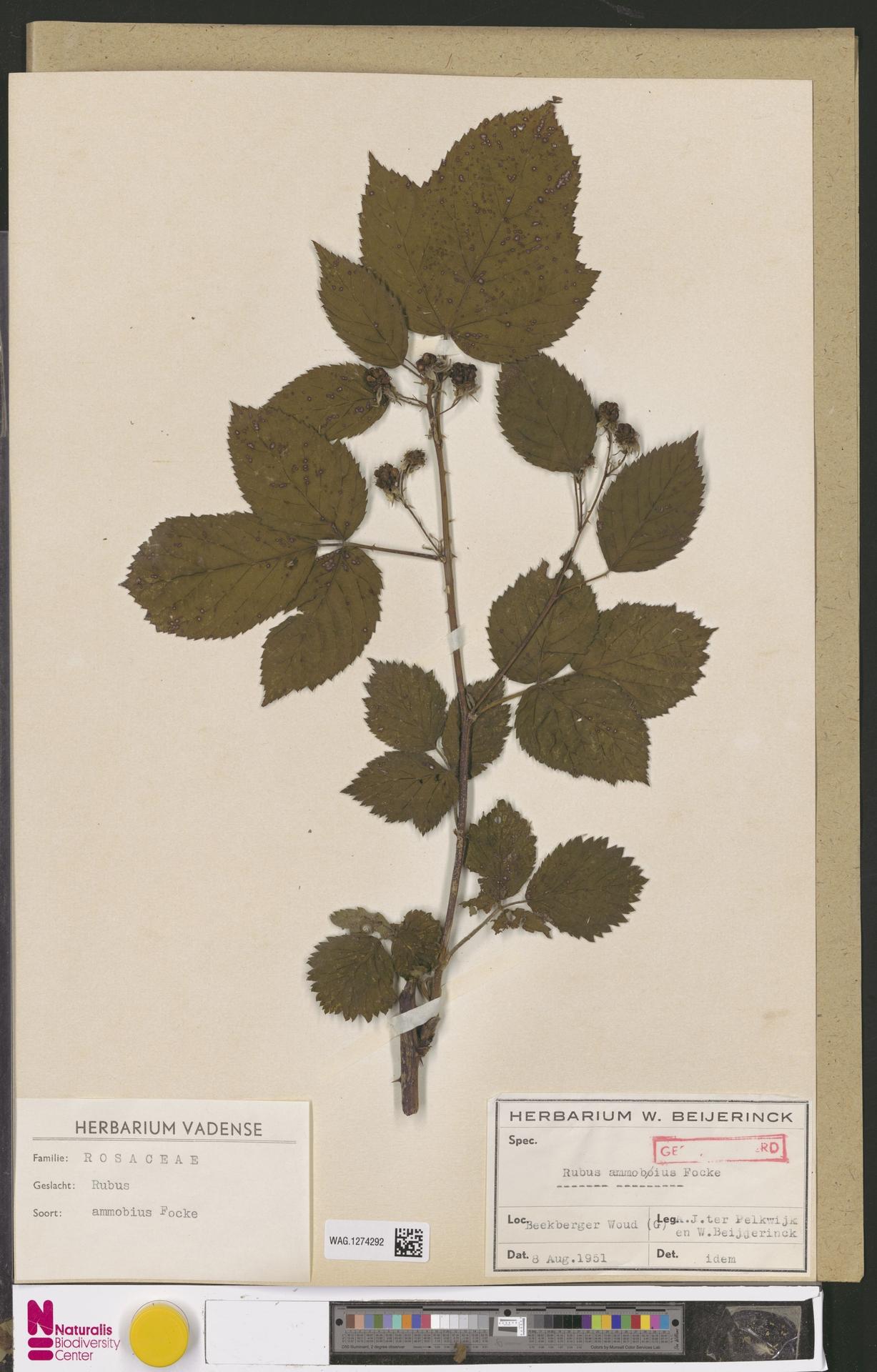 WAG.1274292 | Rubus ammobius Focke