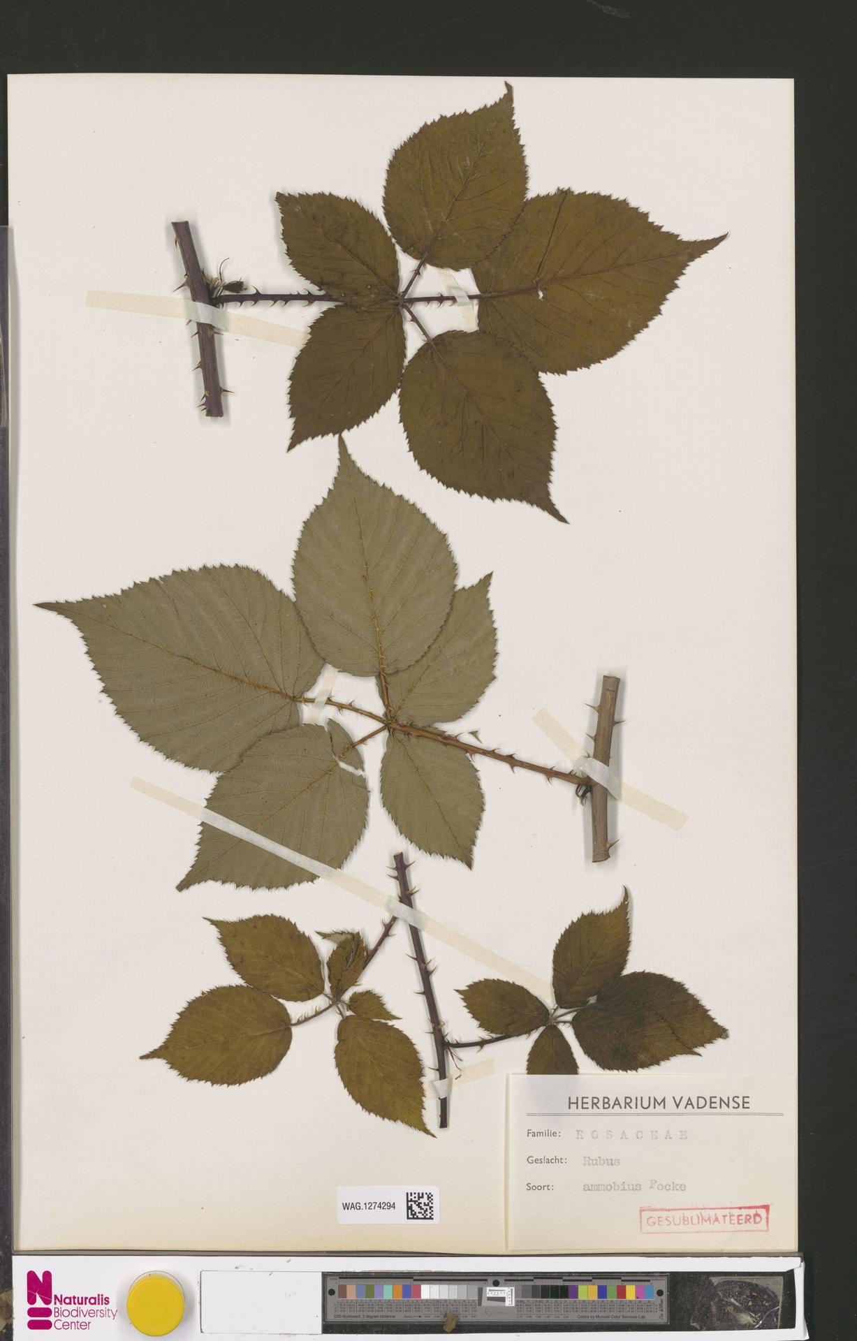 WAG.1274294   Rubus ammobius Focke