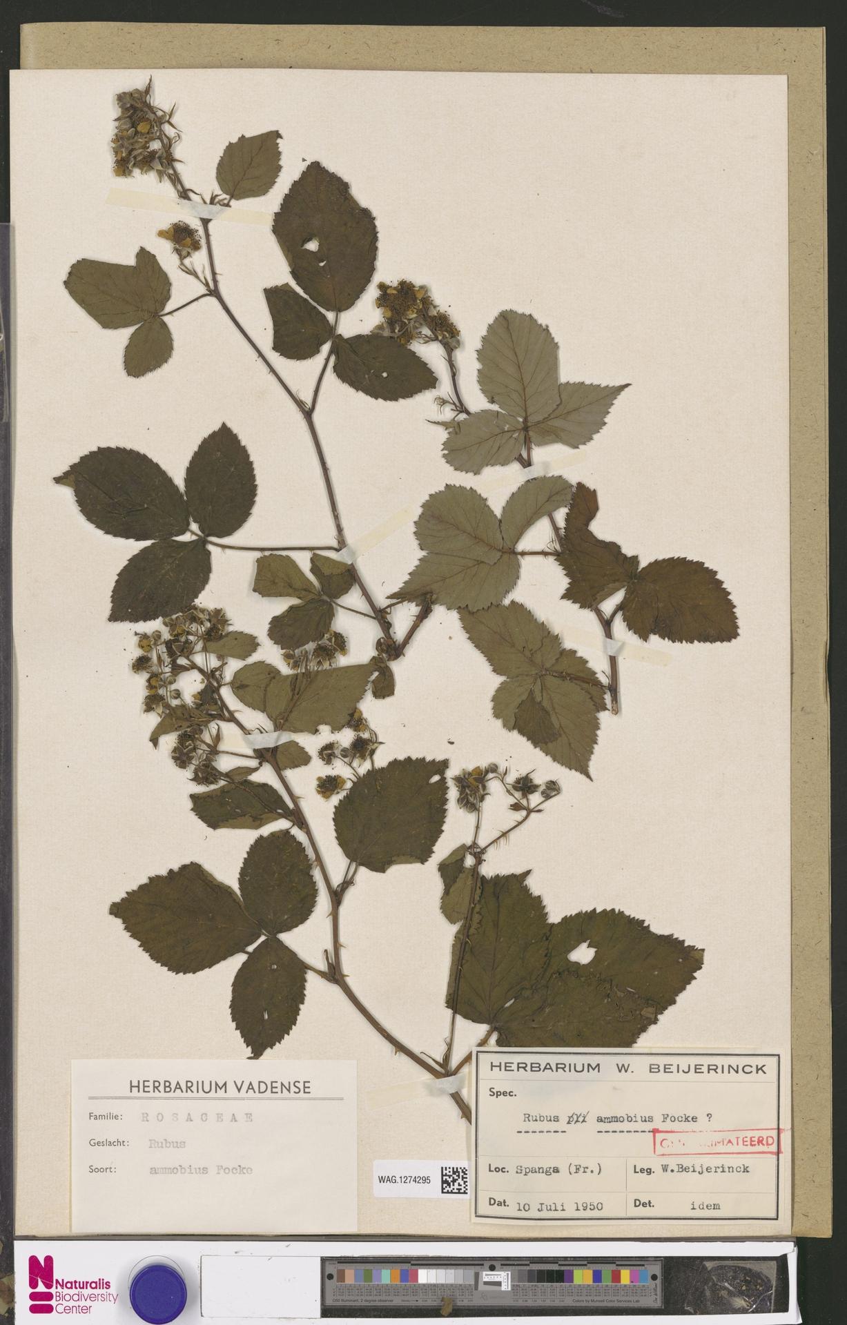 WAG.1274295 | Rubus ammobius Focke