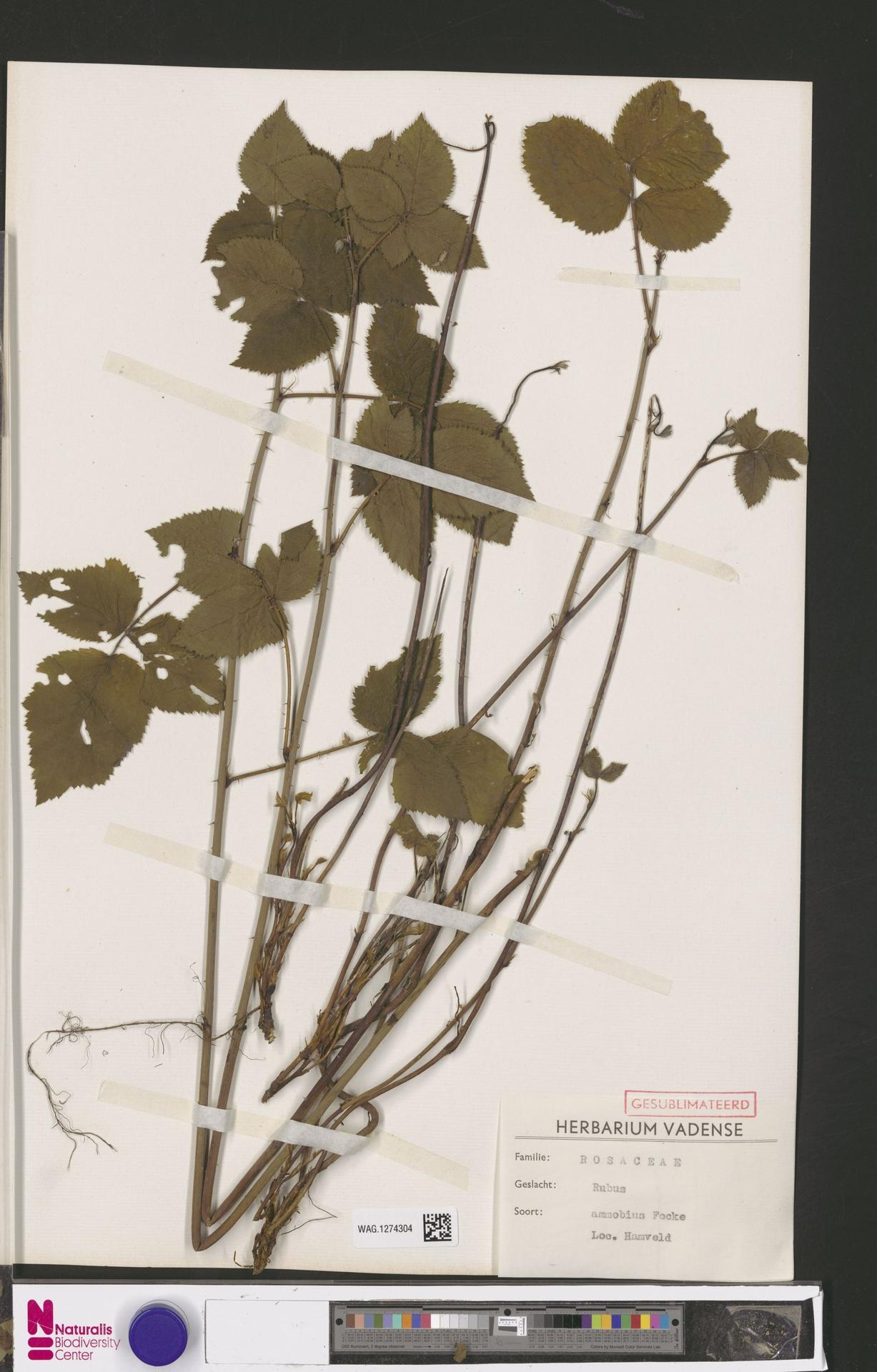WAG.1274304 | Rubus ammobius Focke