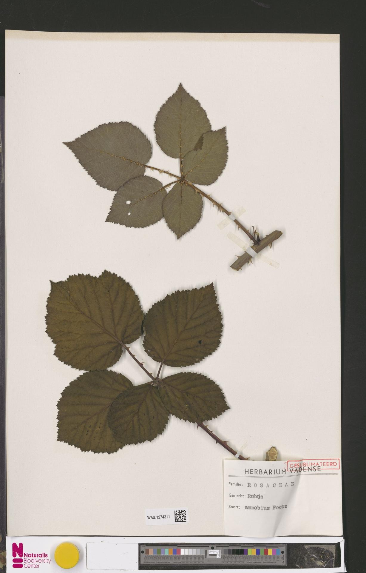 WAG.1274311 | Rubus ammobius Focke