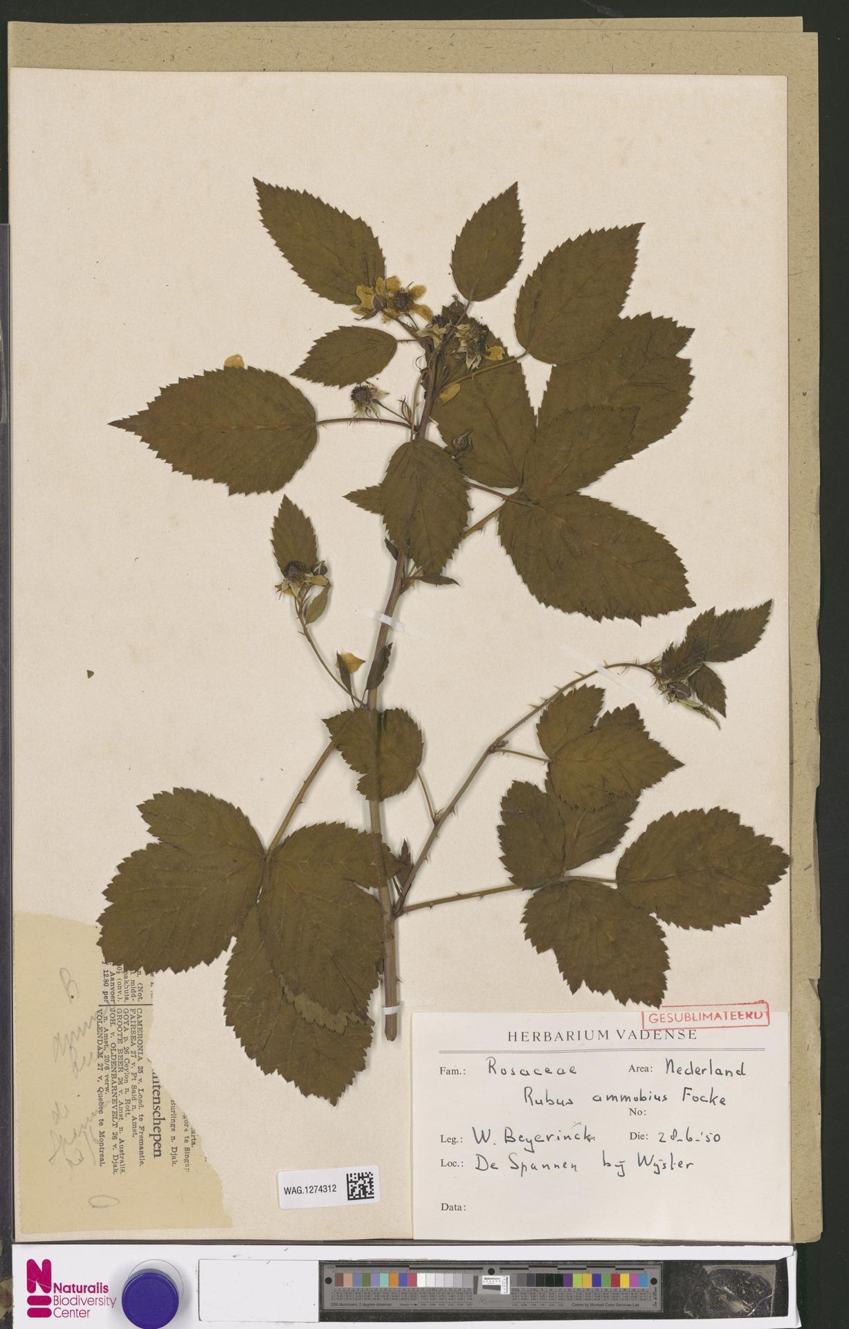 WAG.1274312 | Rubus ammobius Focke