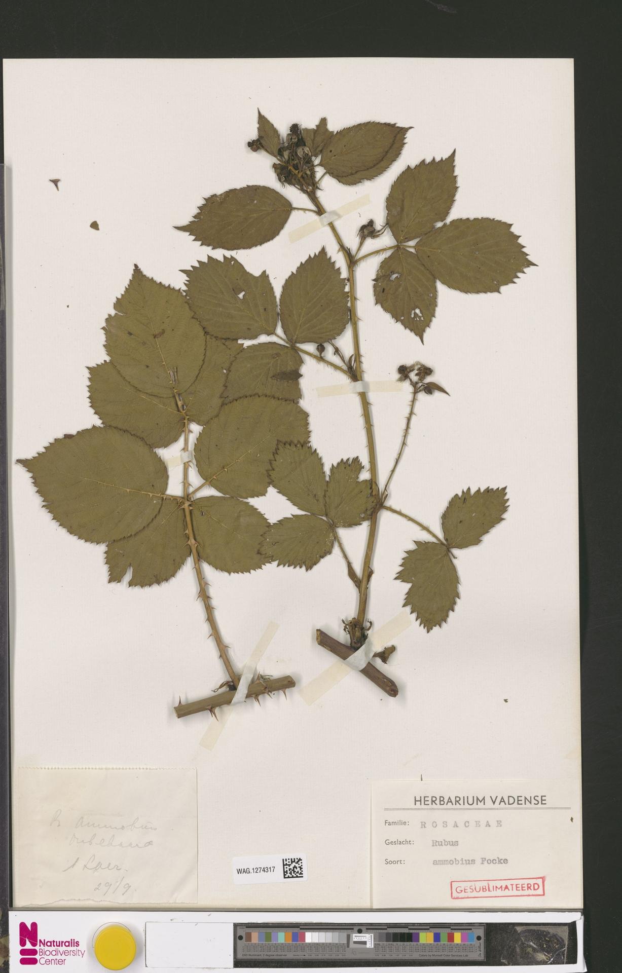 WAG.1274317   Rubus ammobius Focke