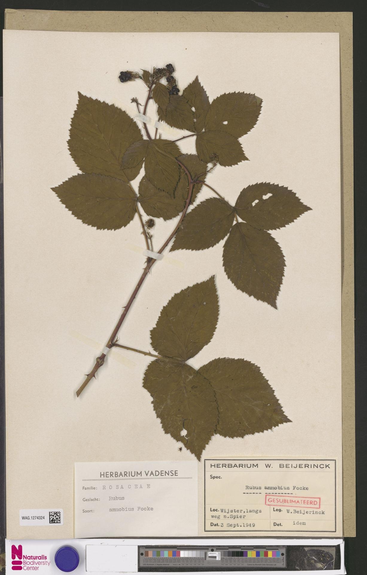 WAG.1274324   Rubus ammobius Focke