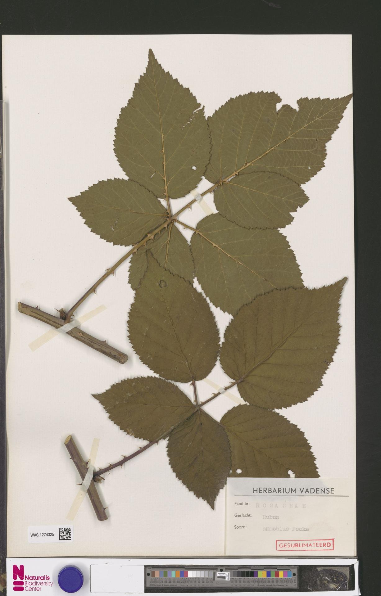 WAG.1274325 | Rubus ammobius Focke
