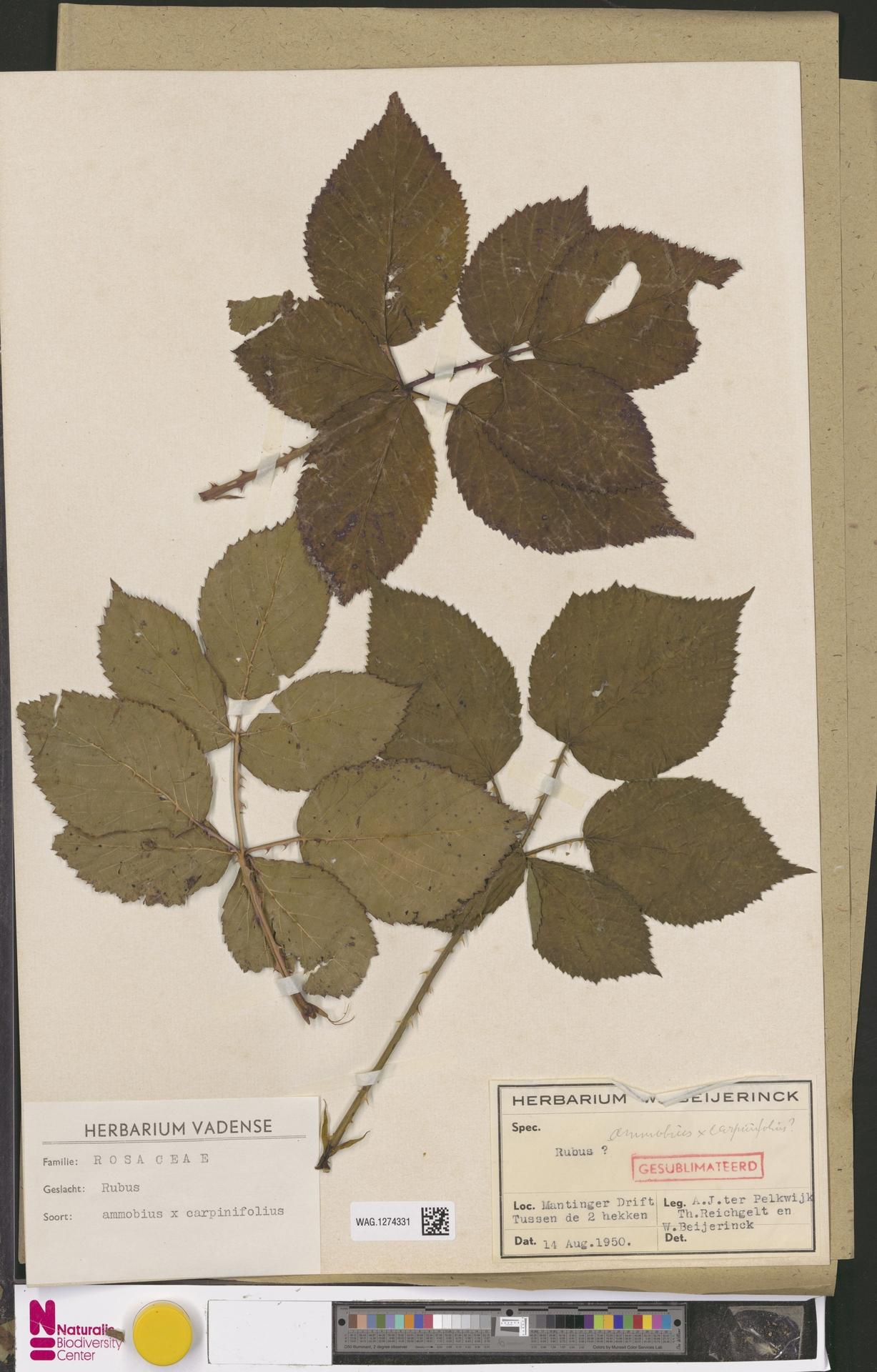 WAG.1274331 | Rubus ammobius Focke