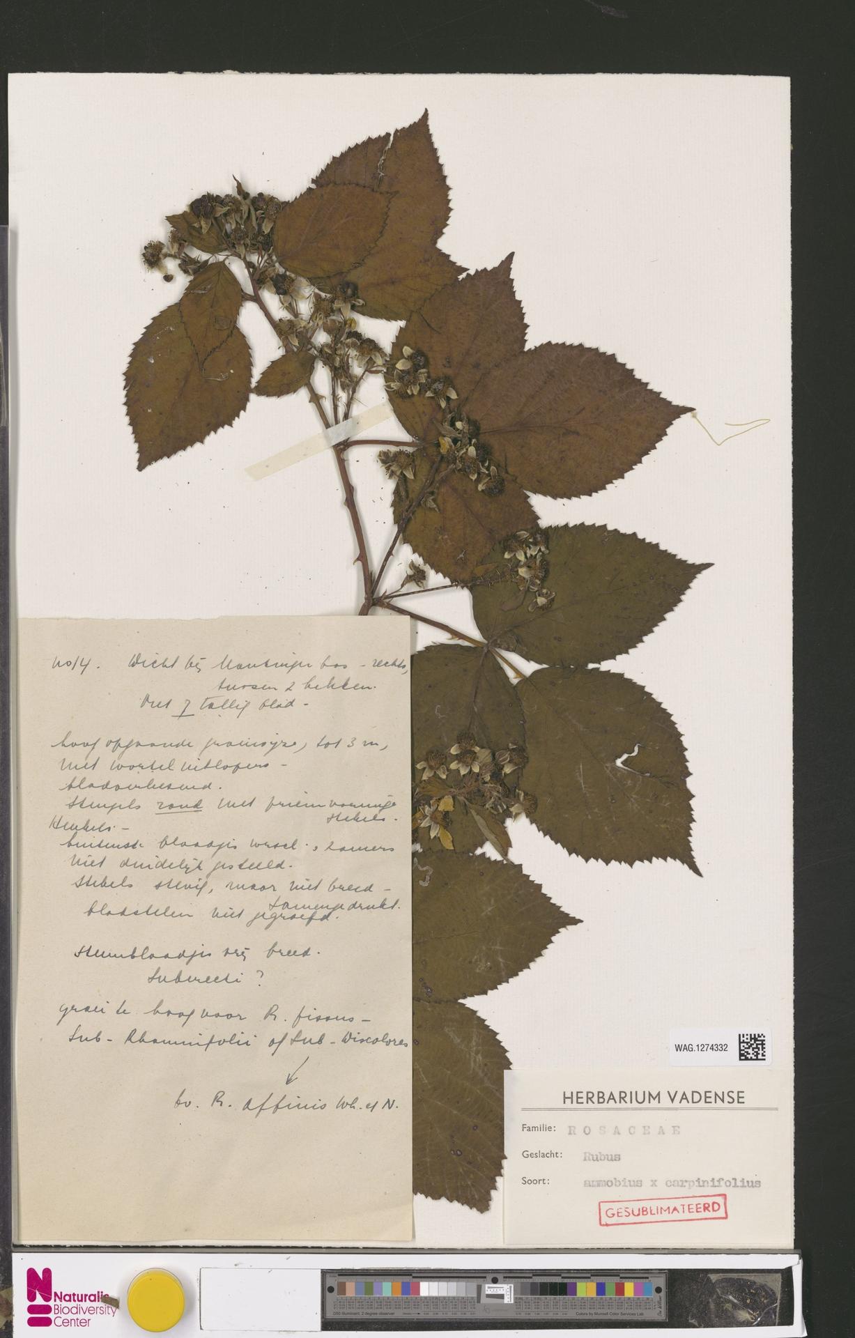 WAG.1274332   Rubus ammobius Focke
