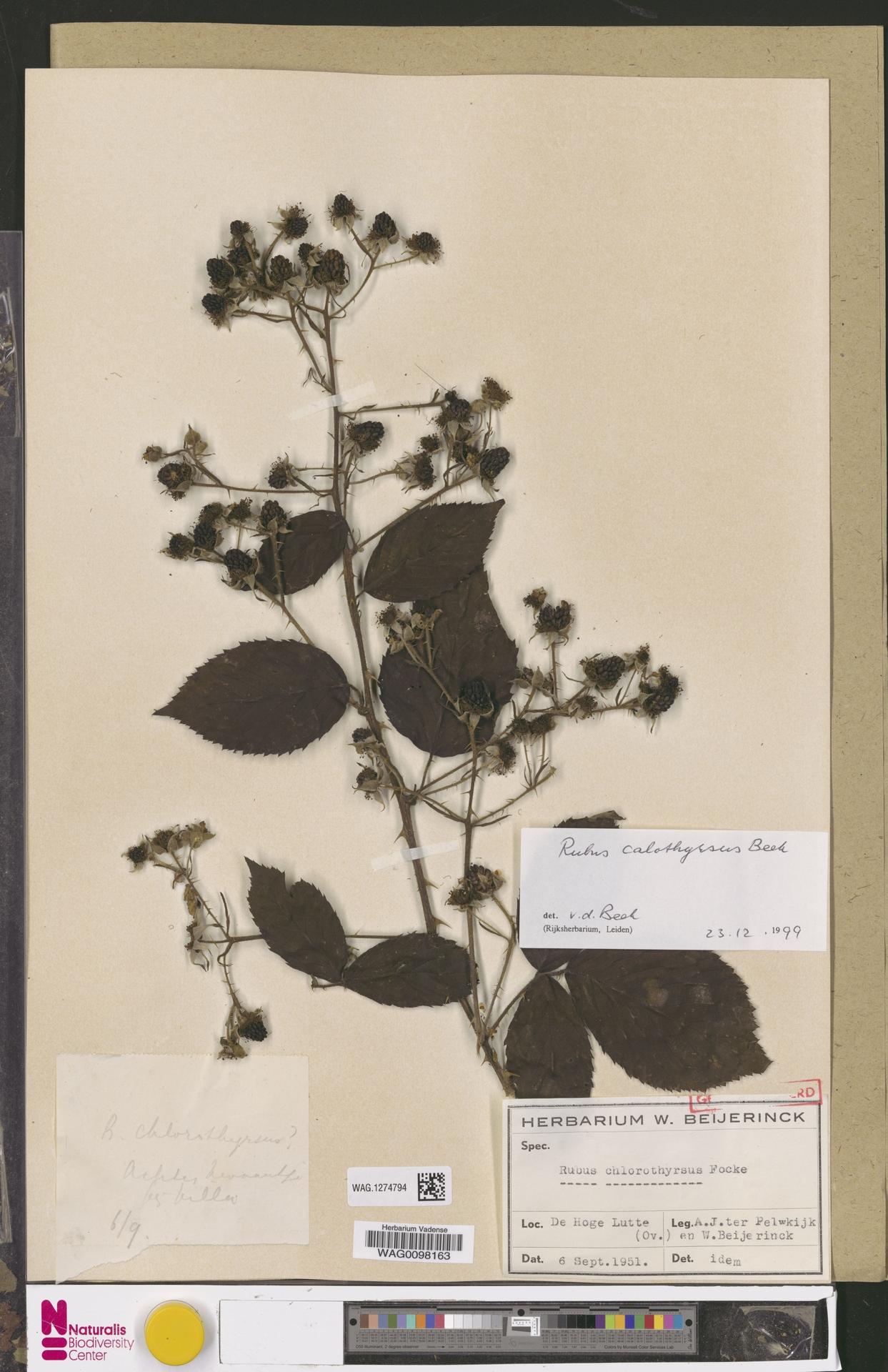 WAG.1274794 | Rubus calothyrsus A.Beek