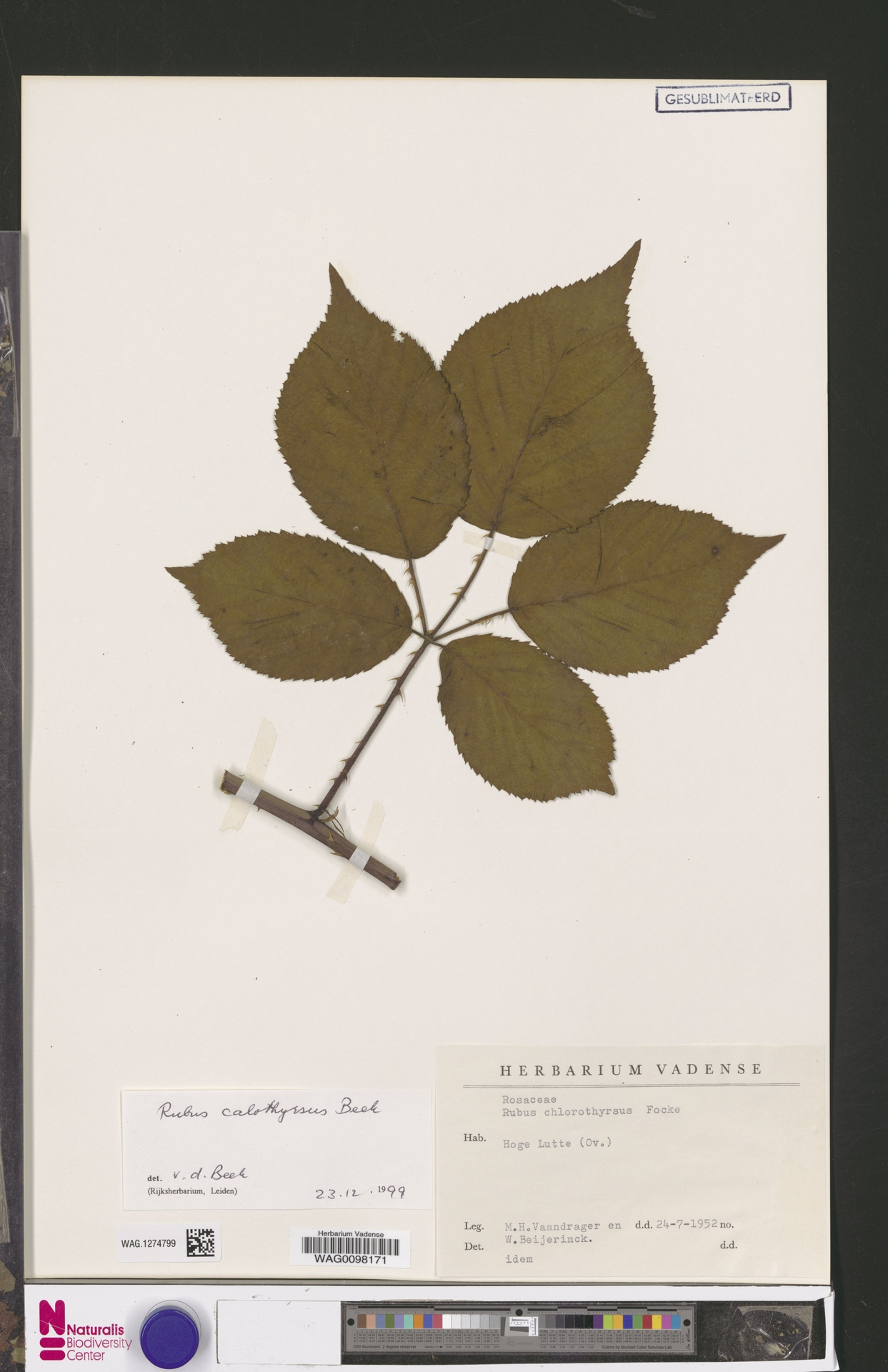 WAG.1274799 | Rubus calothyrsus A.Beek