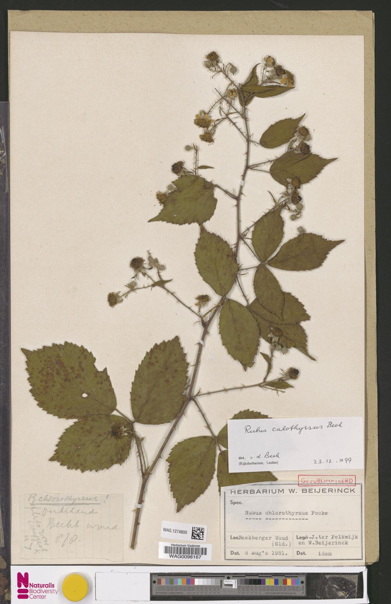 WAG.1274800 | Rubus calothyrsus A.Beek