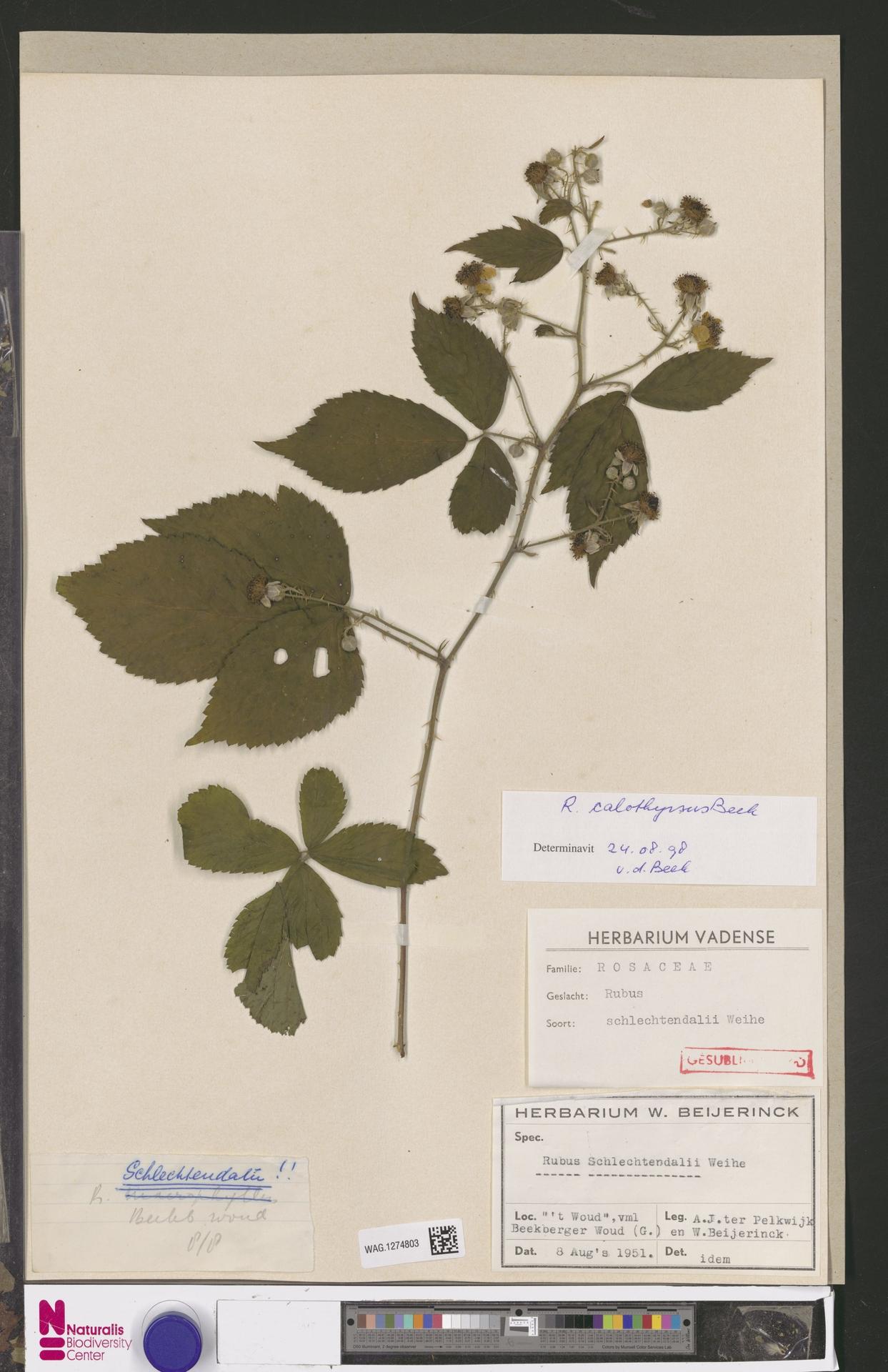 WAG.1274803 | Rubus calothyrsus A.Beek
