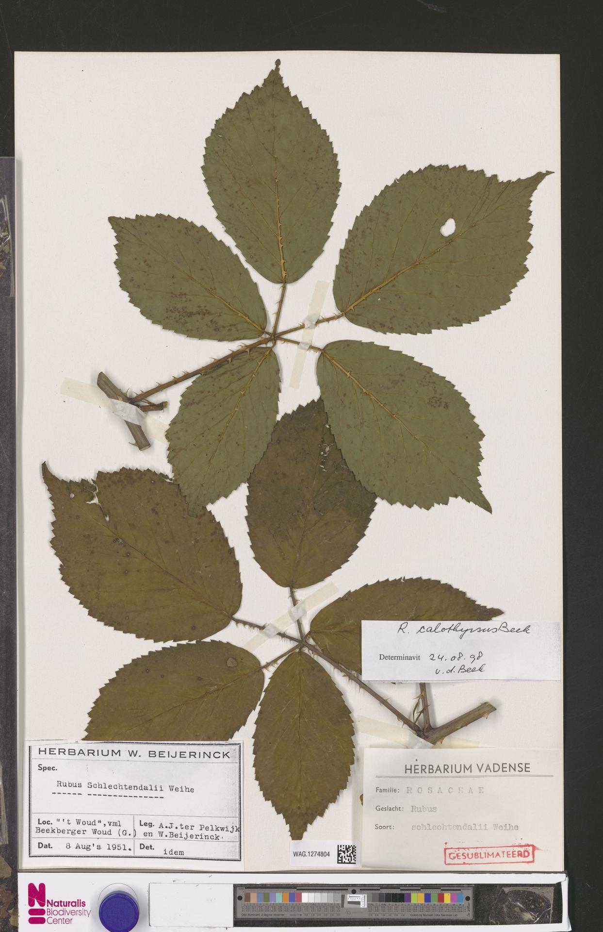WAG.1274804 | Rubus calothyrsus A.Beek