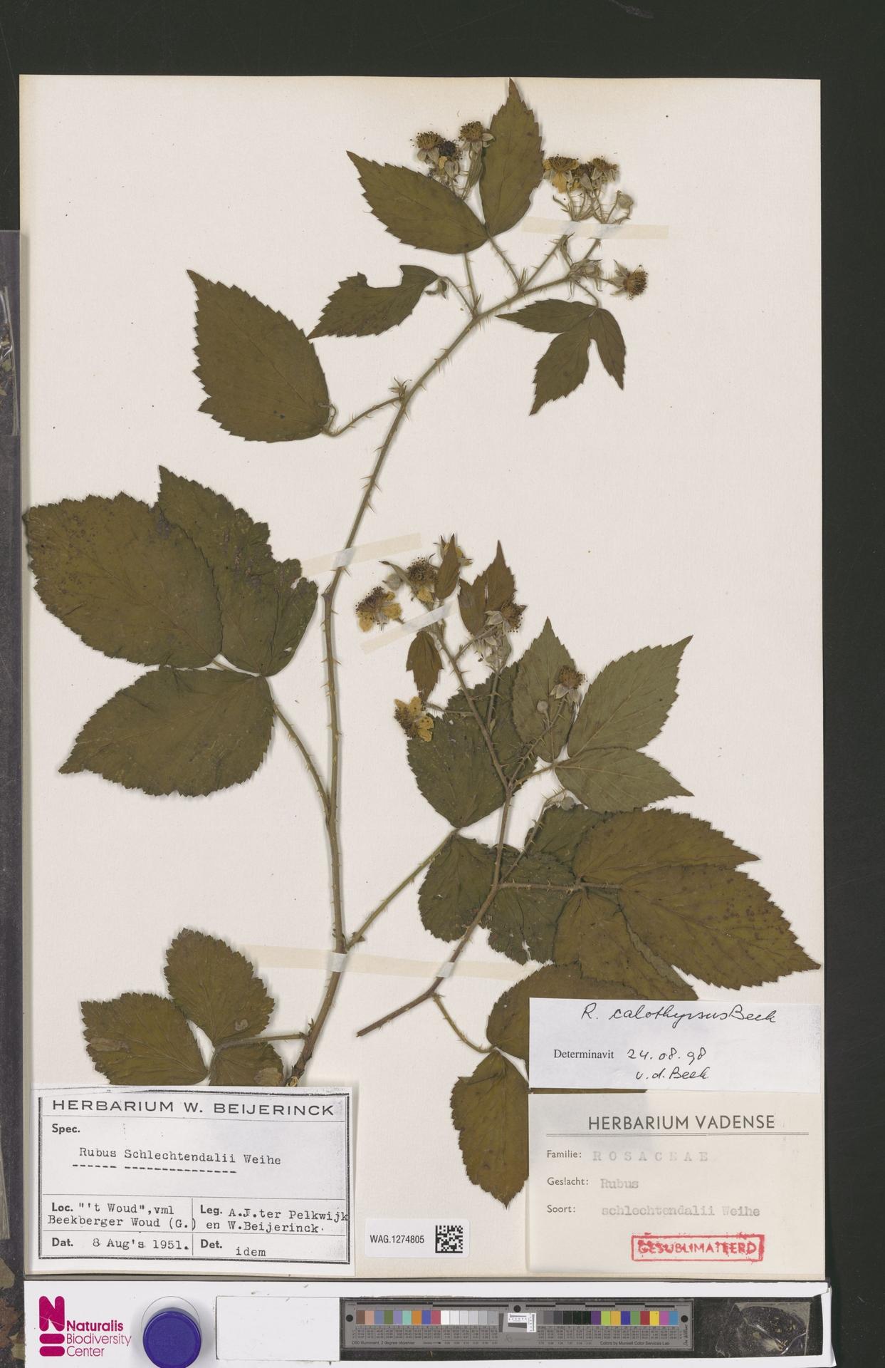 WAG.1274805 | Rubus calothyrsus A.Beek