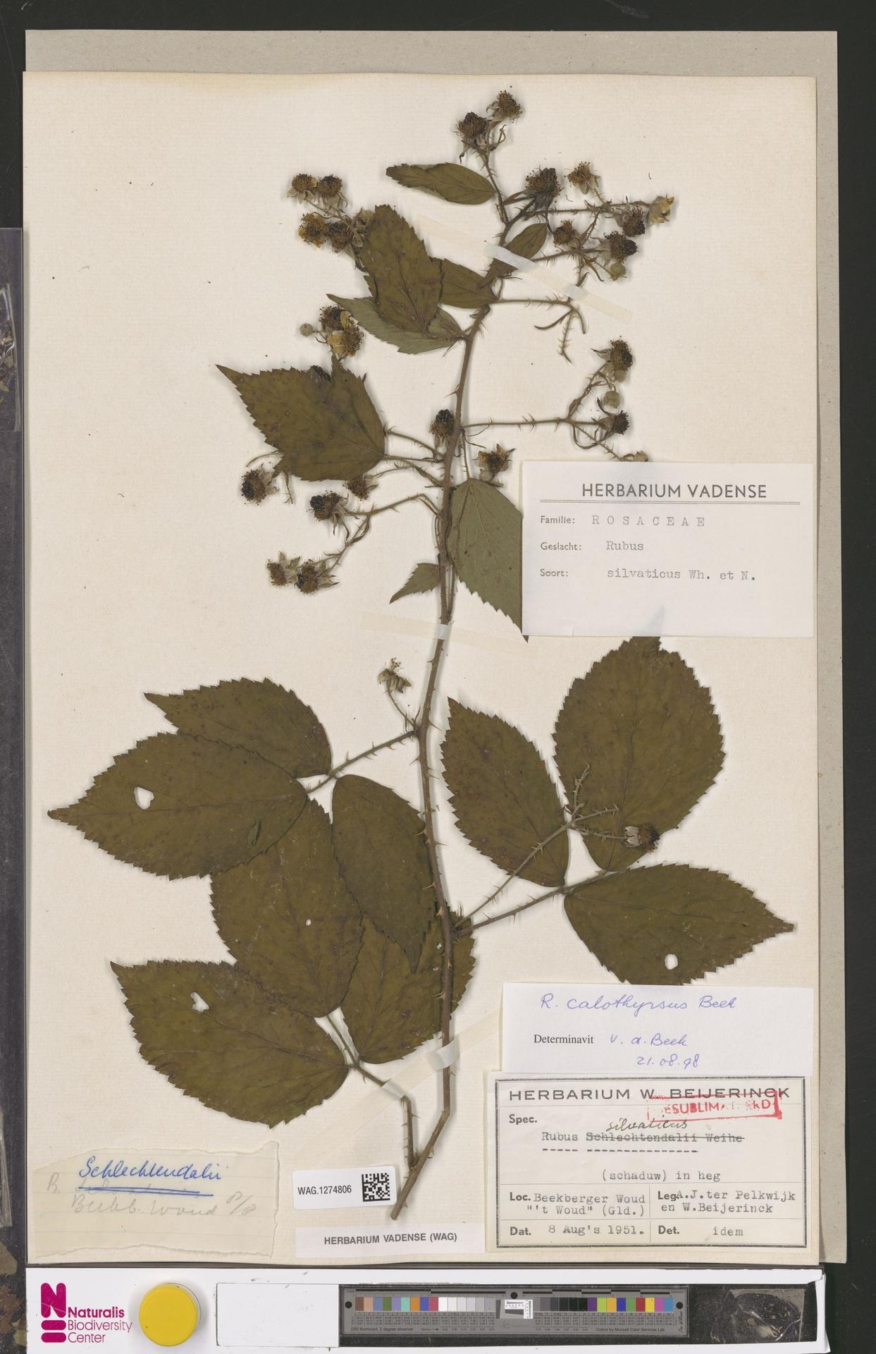 WAG.1274806 | Rubus calothyrsus A.Beek