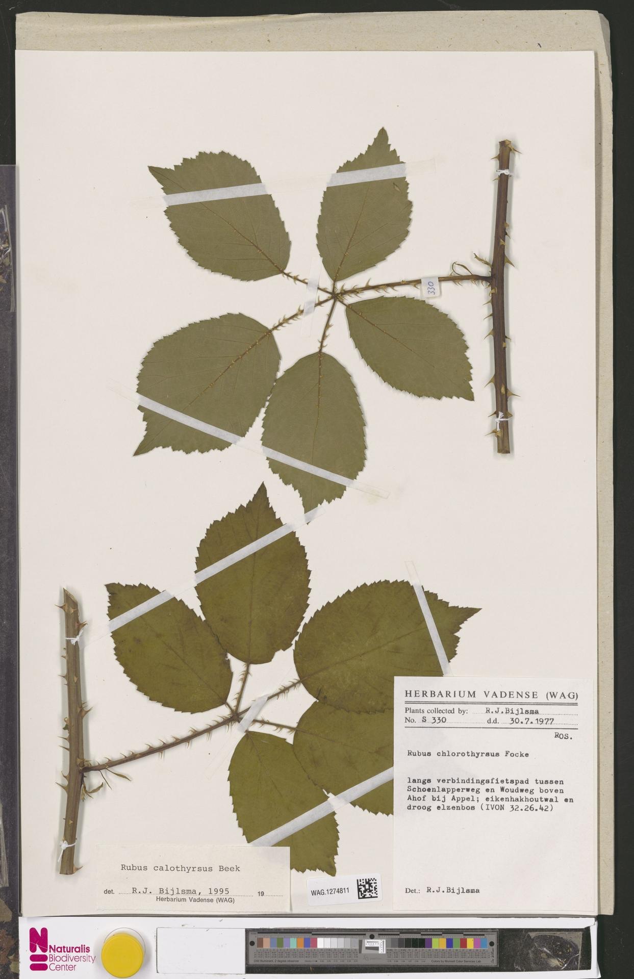 WAG.1274811   Rubus calothyrsus A.Beek