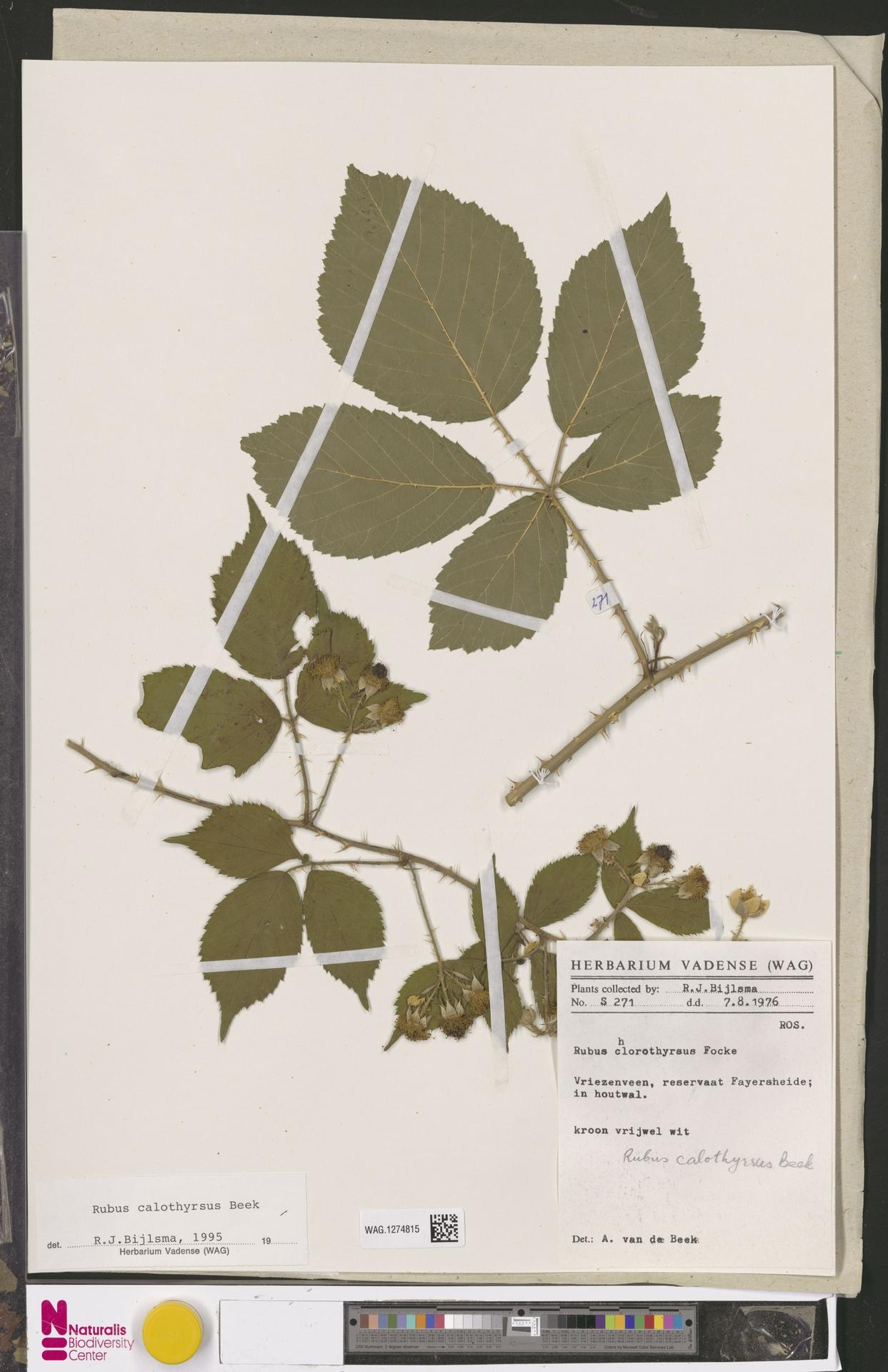 WAG.1274815 | Rubus calothyrsus A.Beek