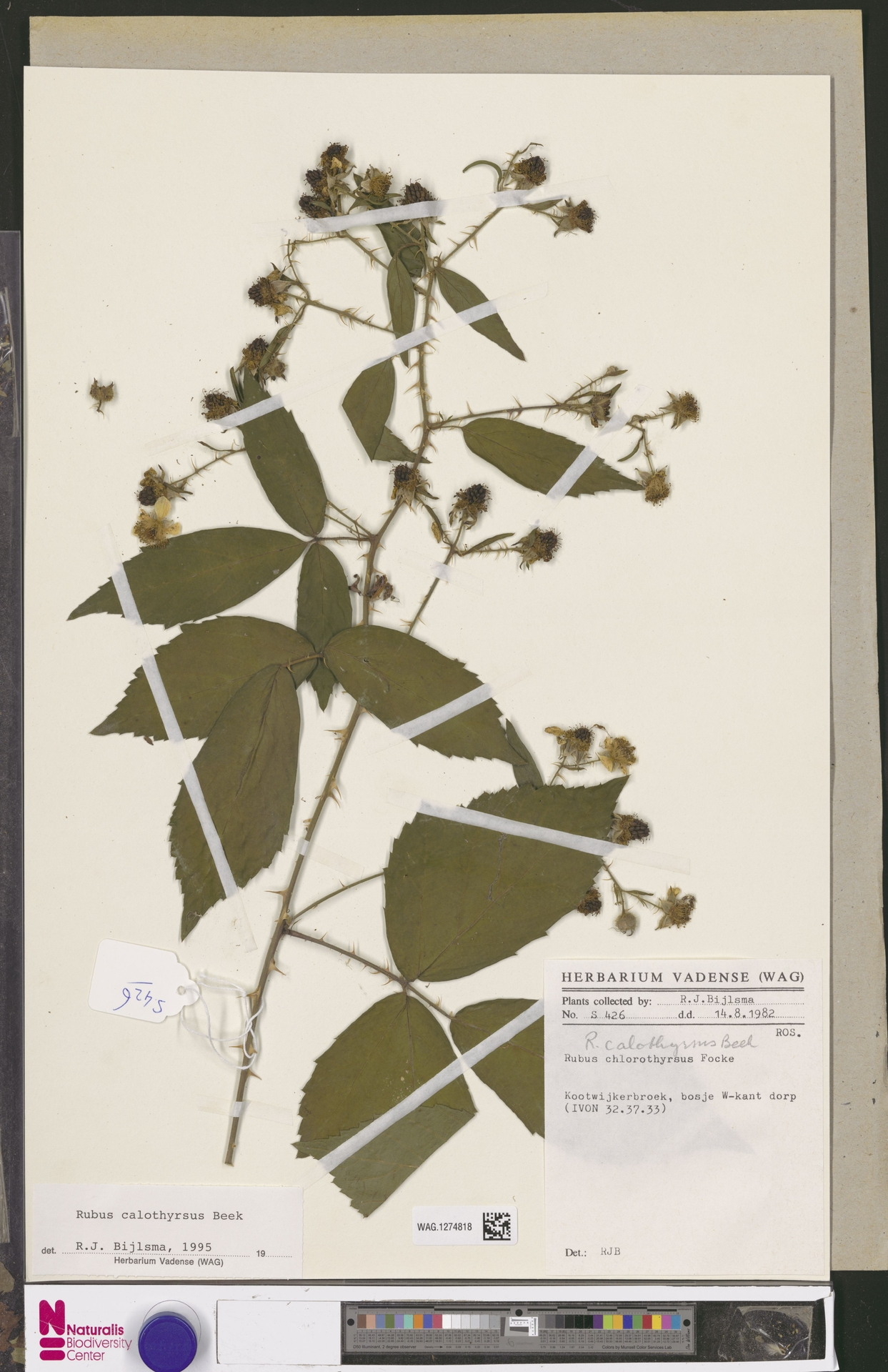 WAG.1274818 | Rubus calothyrsus A.Beek