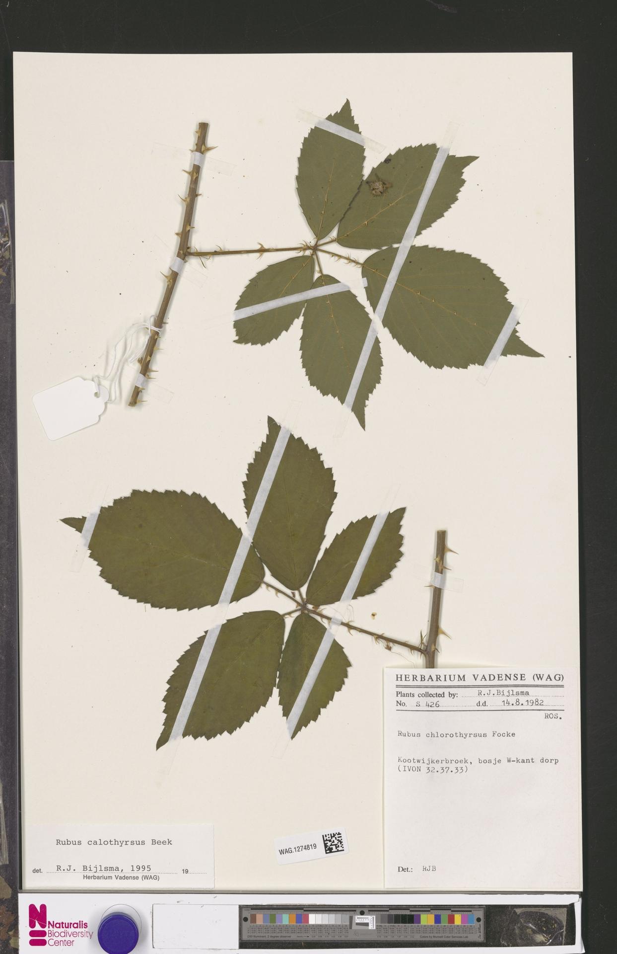 WAG.1274819 | Rubus calothyrsus A.Beek