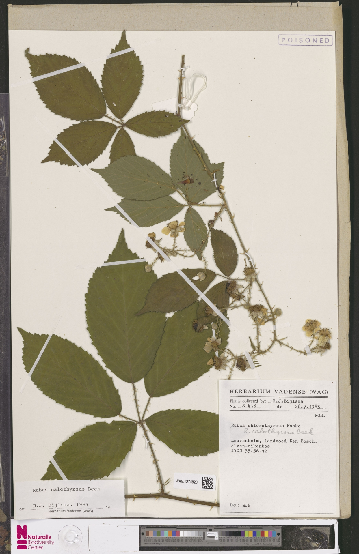 WAG.1274823   Rubus calothyrsus A.Beek