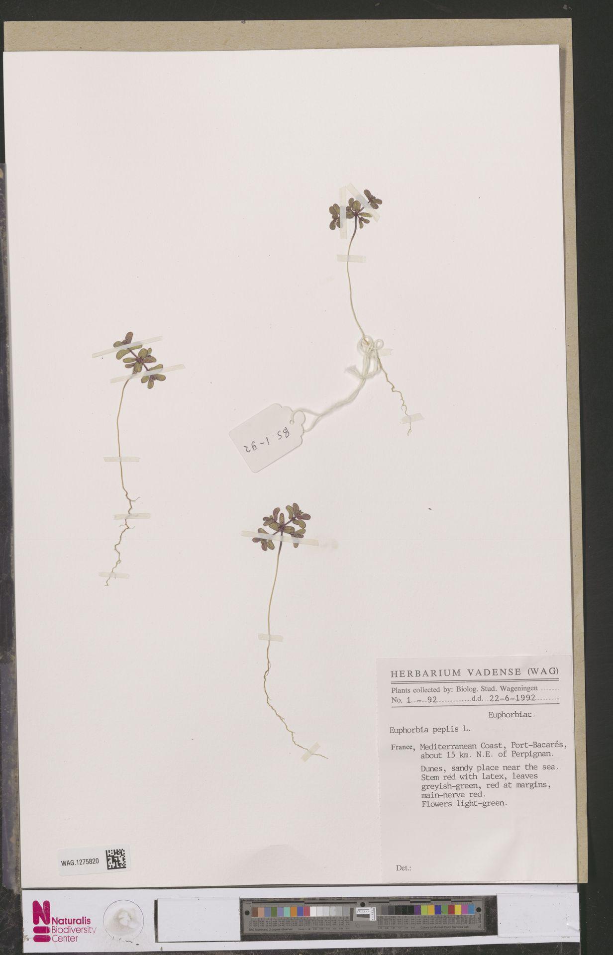 WAG.1275820 | Euphorbia peplis L.