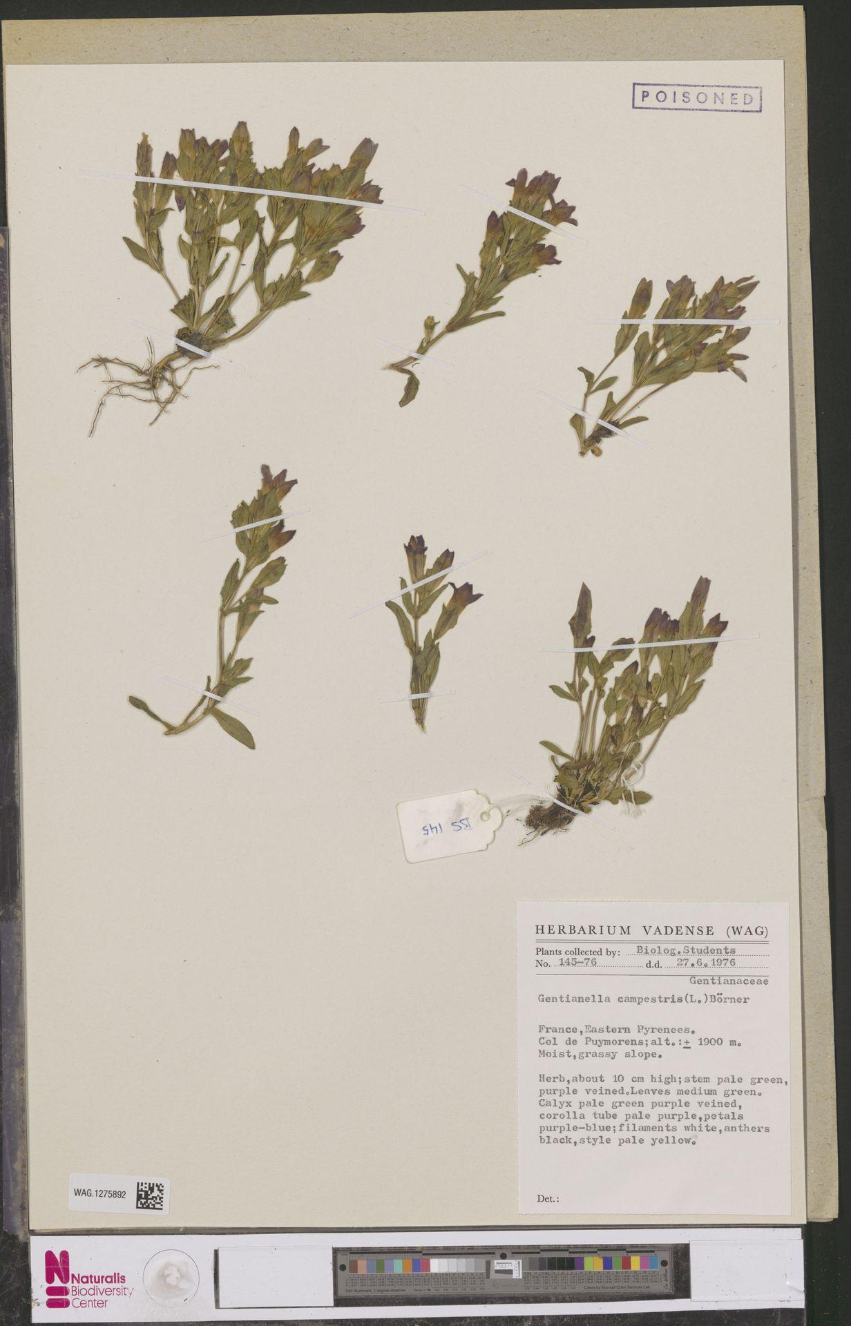 WAG.1275892   Gentianella campestris (L.) Börner
