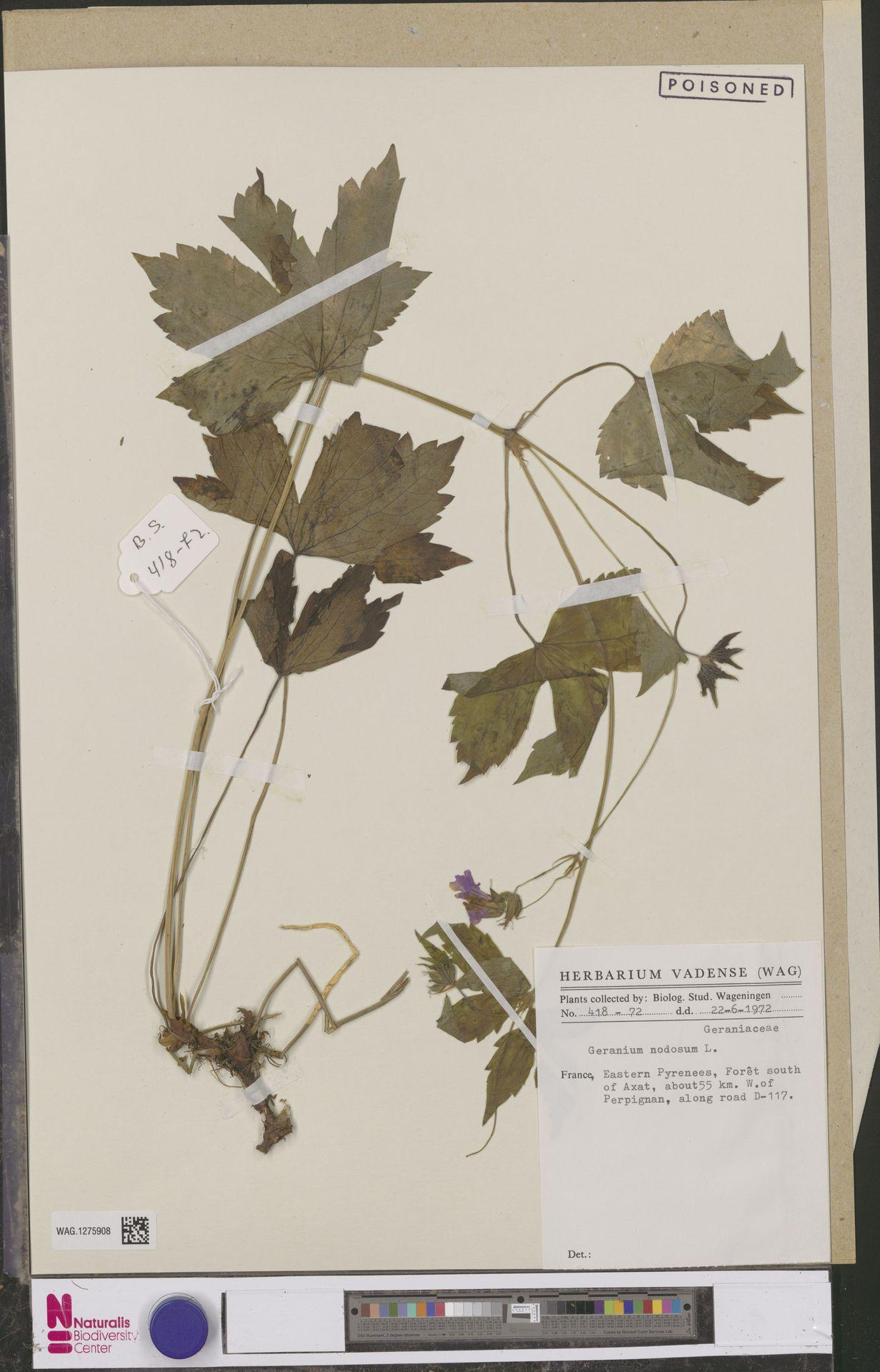 WAG.1275908   Geranium nodosum L.
