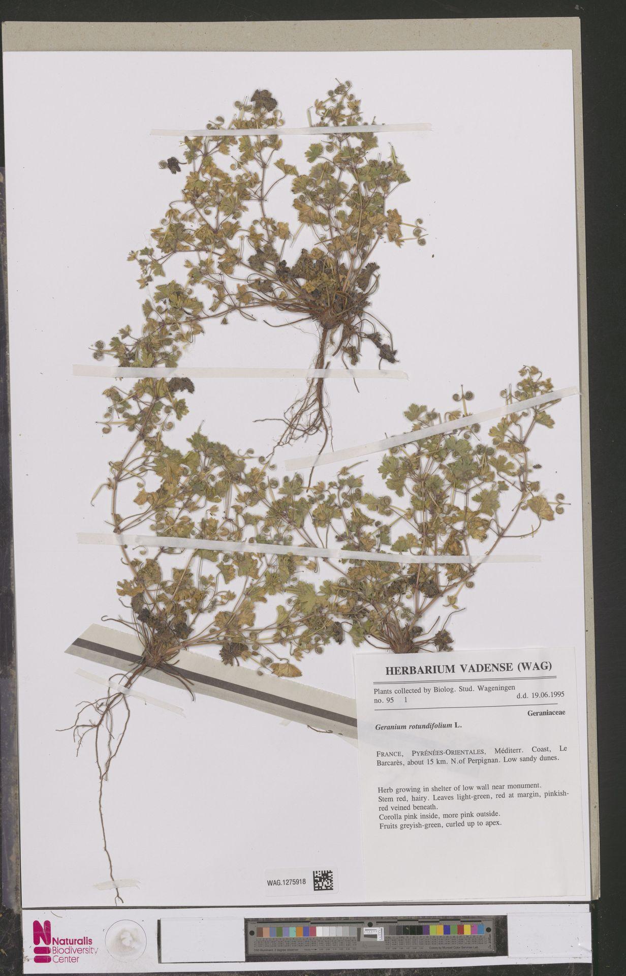 WAG.1275918   Geranium rotundifolium L.