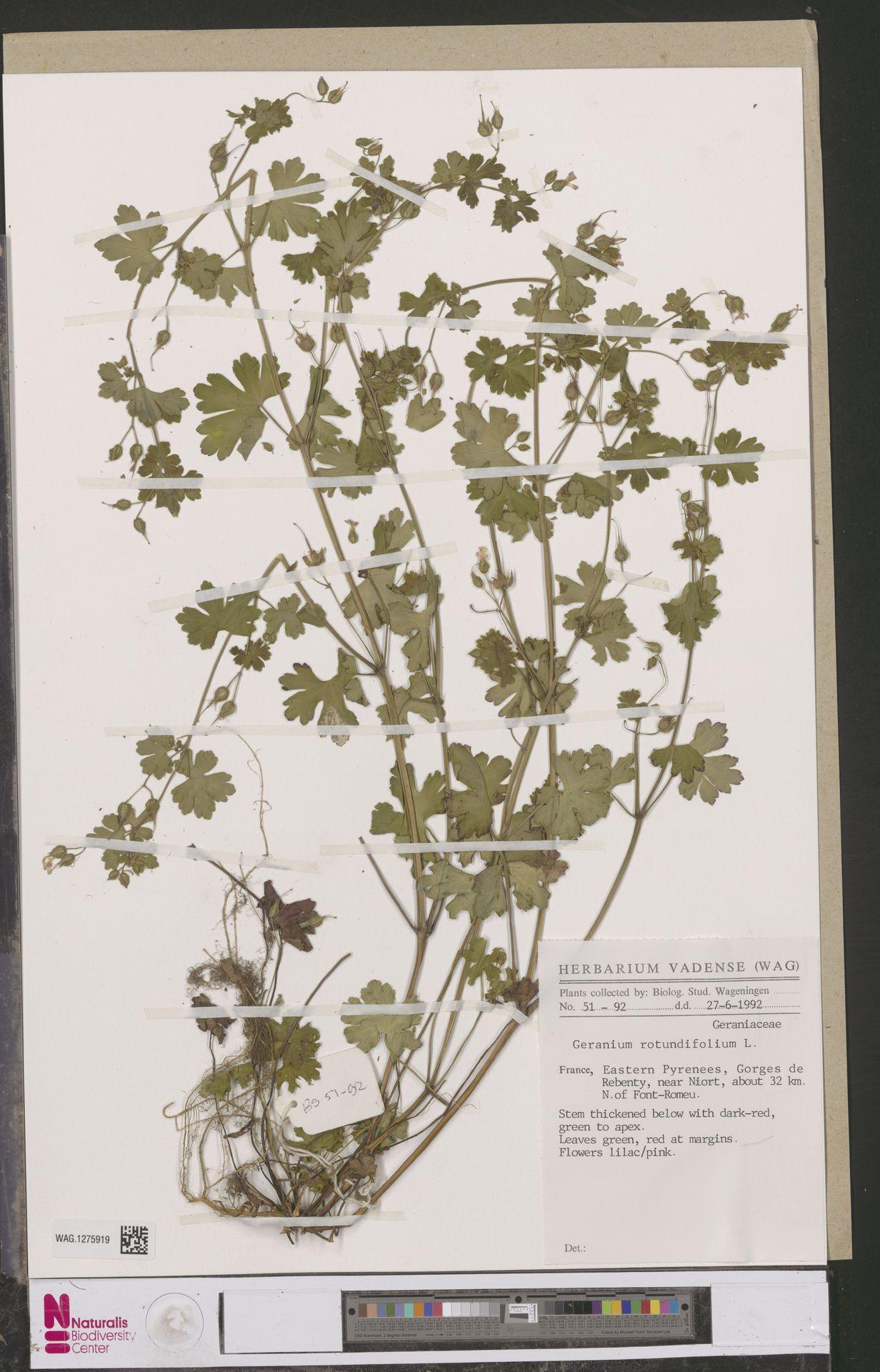 WAG.1275919 | Geranium rotundifolium L.