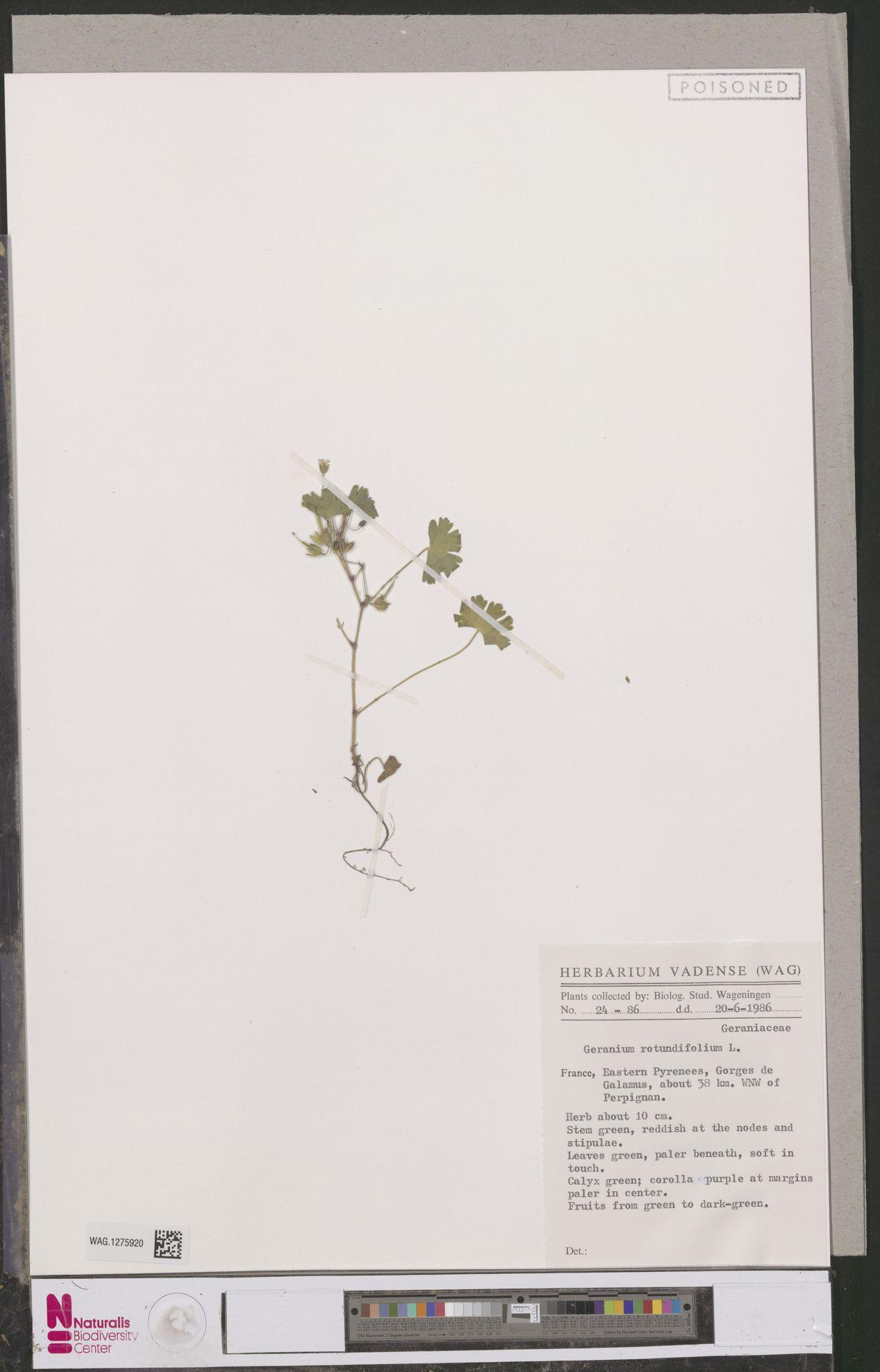 WAG.1275920 | Geranium rotundifolium L.